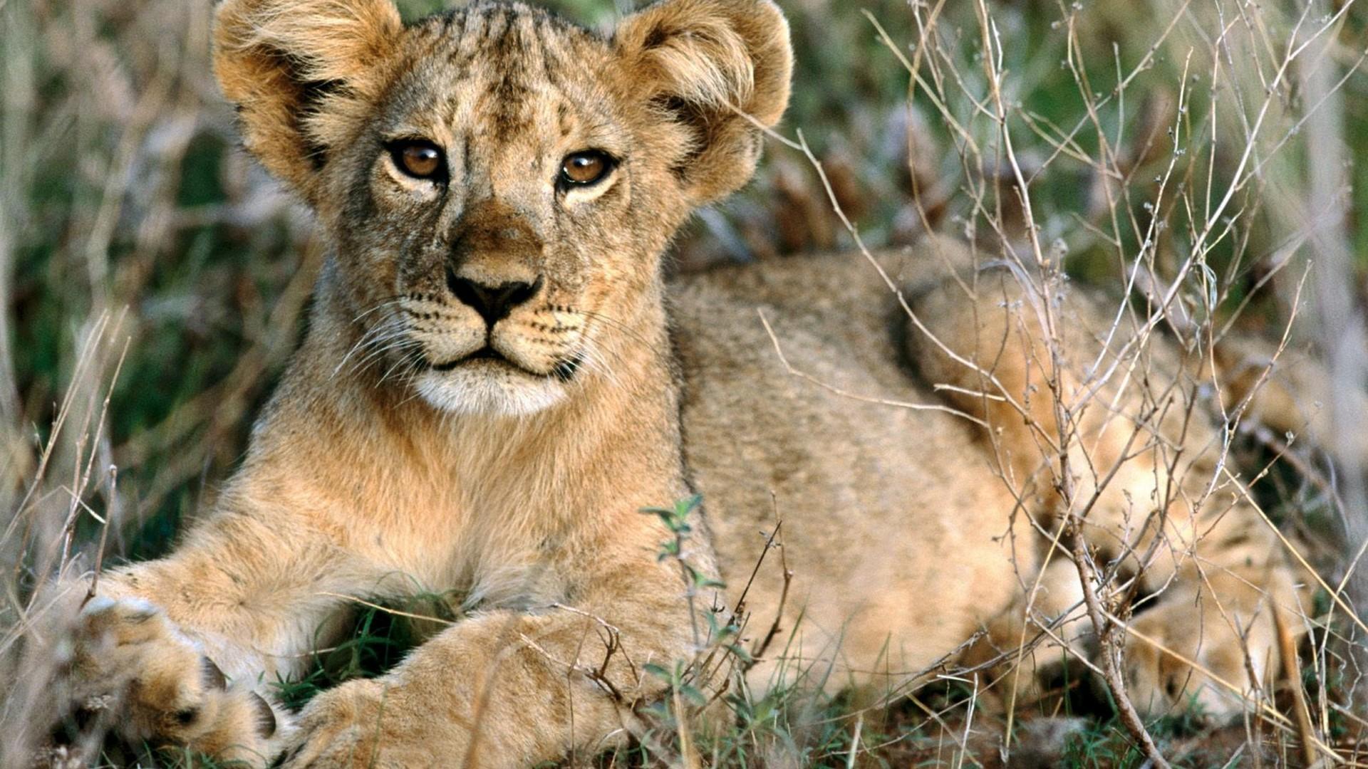 yavru aslan hd
