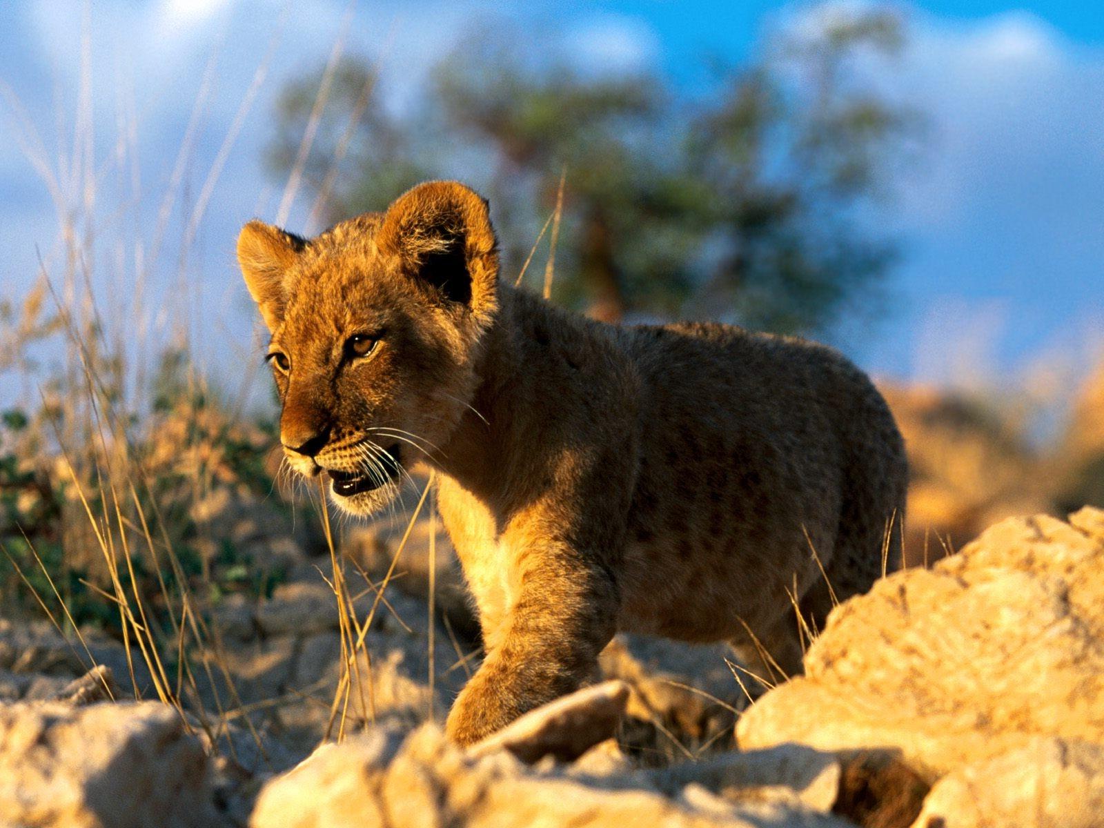 Sfondi animali leone natura grandi gatti cuccioli for Sfondi leone