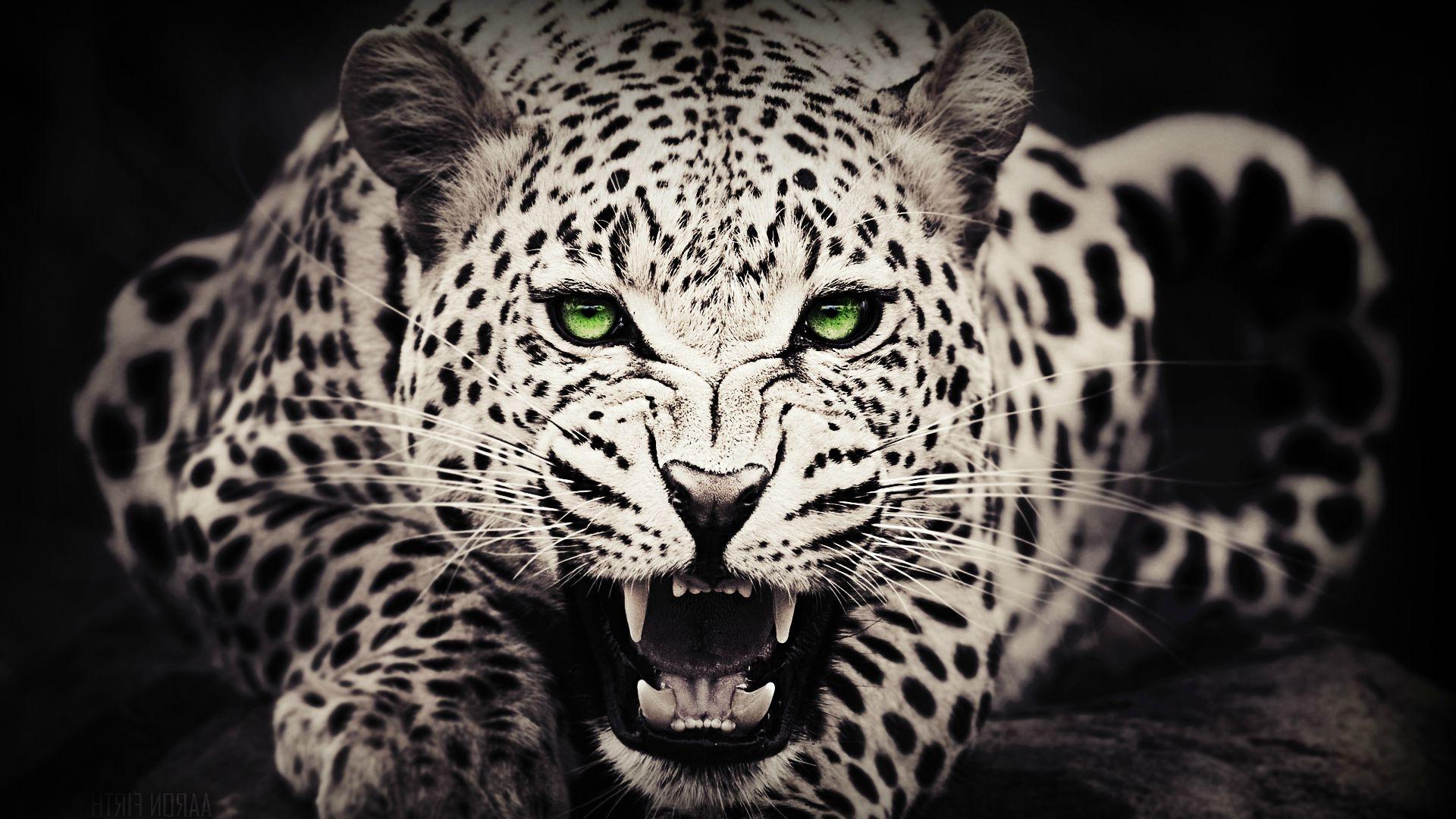 fond d 39 cran animaux monochrome yeux verts faune gros chats moustaches l opard jaguar. Black Bedroom Furniture Sets. Home Design Ideas