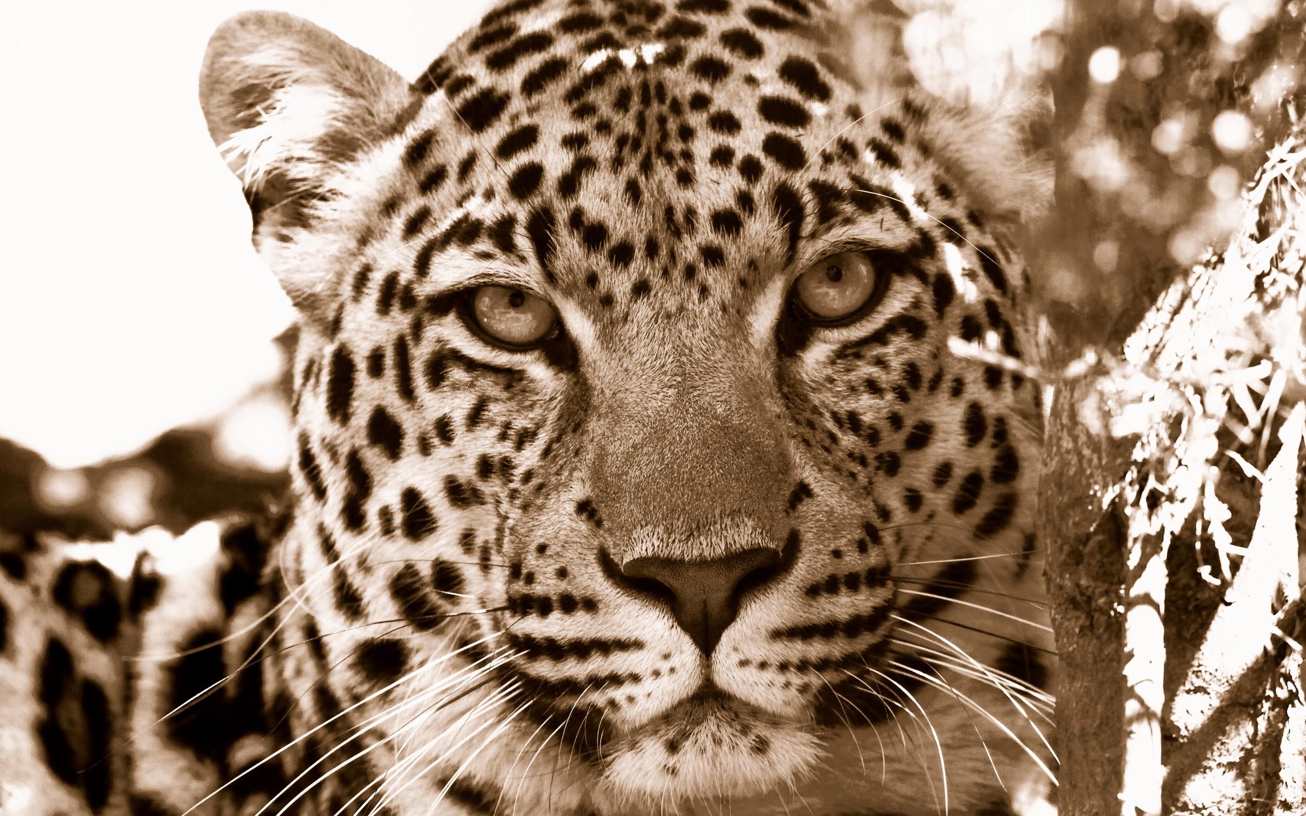 Animals monochrome nature wildlife big cats whiskers leopard jaguar cheetah jaguars snow leopard fauna mammal 2560x1600
