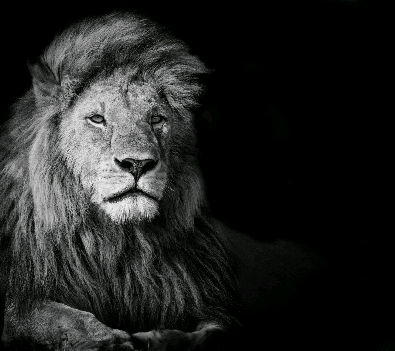 Sfondi animali monocromo leone grandi gatti ruggito for Immagini leone hd