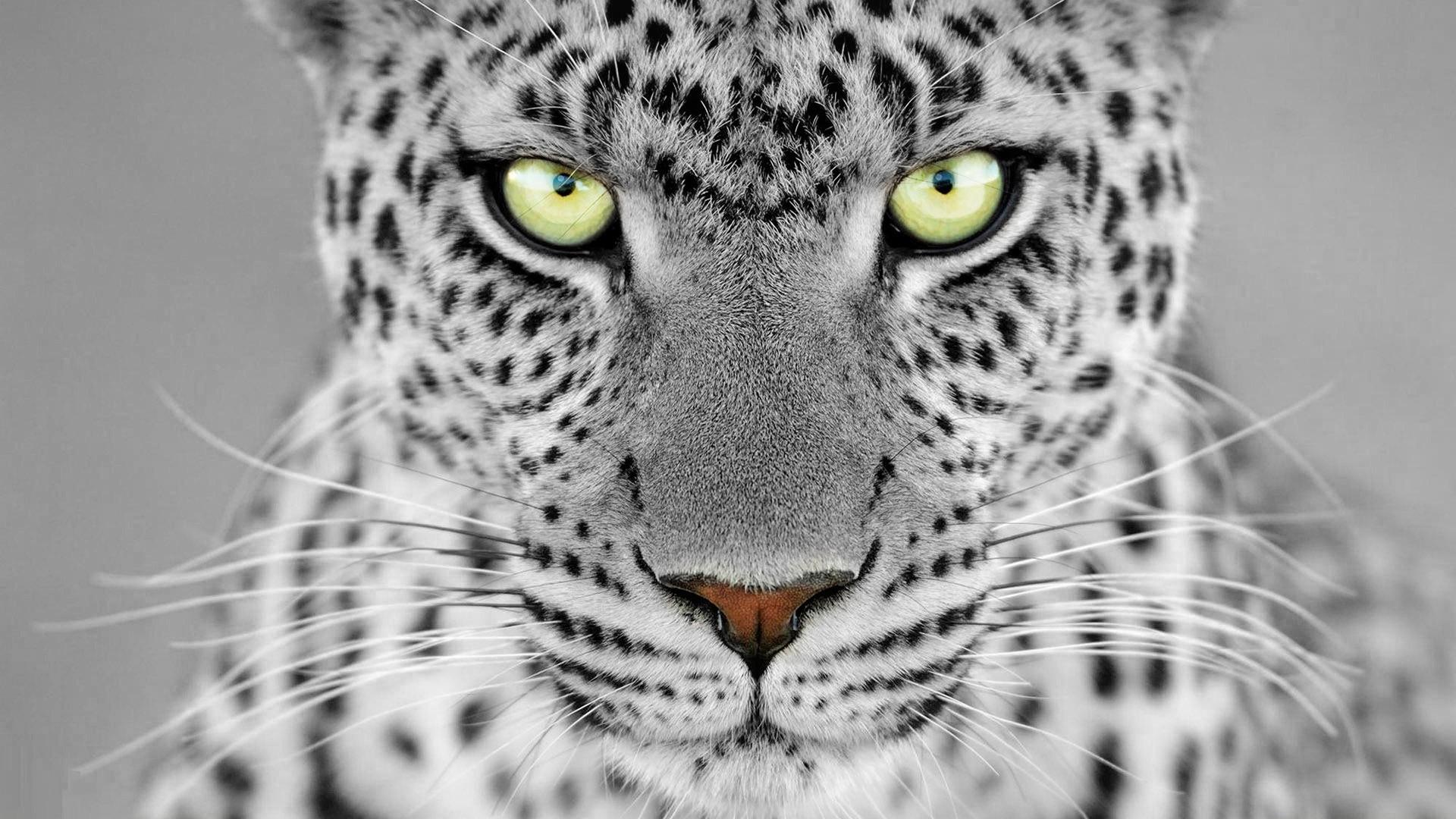 fond d 39 cran animaux monochrome faune gros chats moustaches jaguar gu pard l opard des. Black Bedroom Furniture Sets. Home Design Ideas