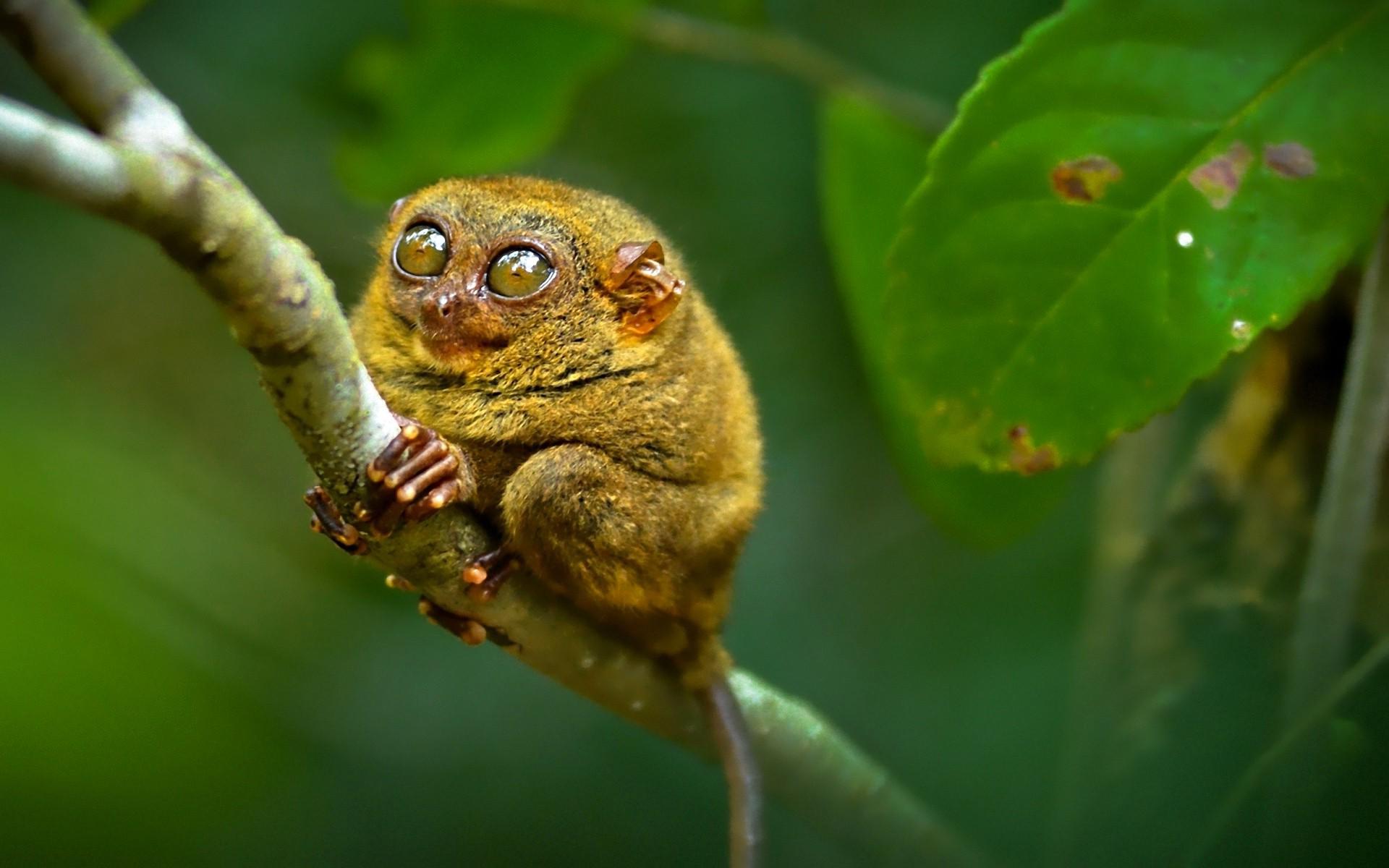 Good Lemur Wallpaper - animals-nature-branch-green-wildlife-frog-amphibian-beak-flower-lemur-fauna-1920x1200-px-vertebrate-close-up-macro-photography-tree-frog-monkeys-726699  You Should Have_5715.jpg
