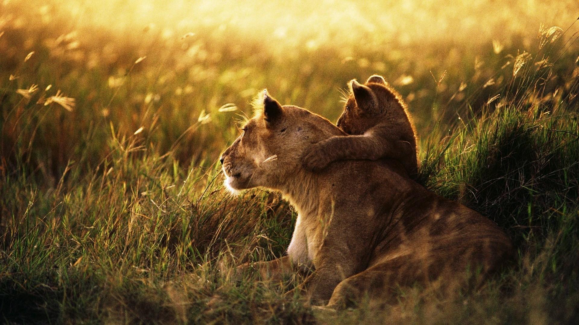 Hintergrundbilder Tiere Natur Gras Lowe Tierwelt