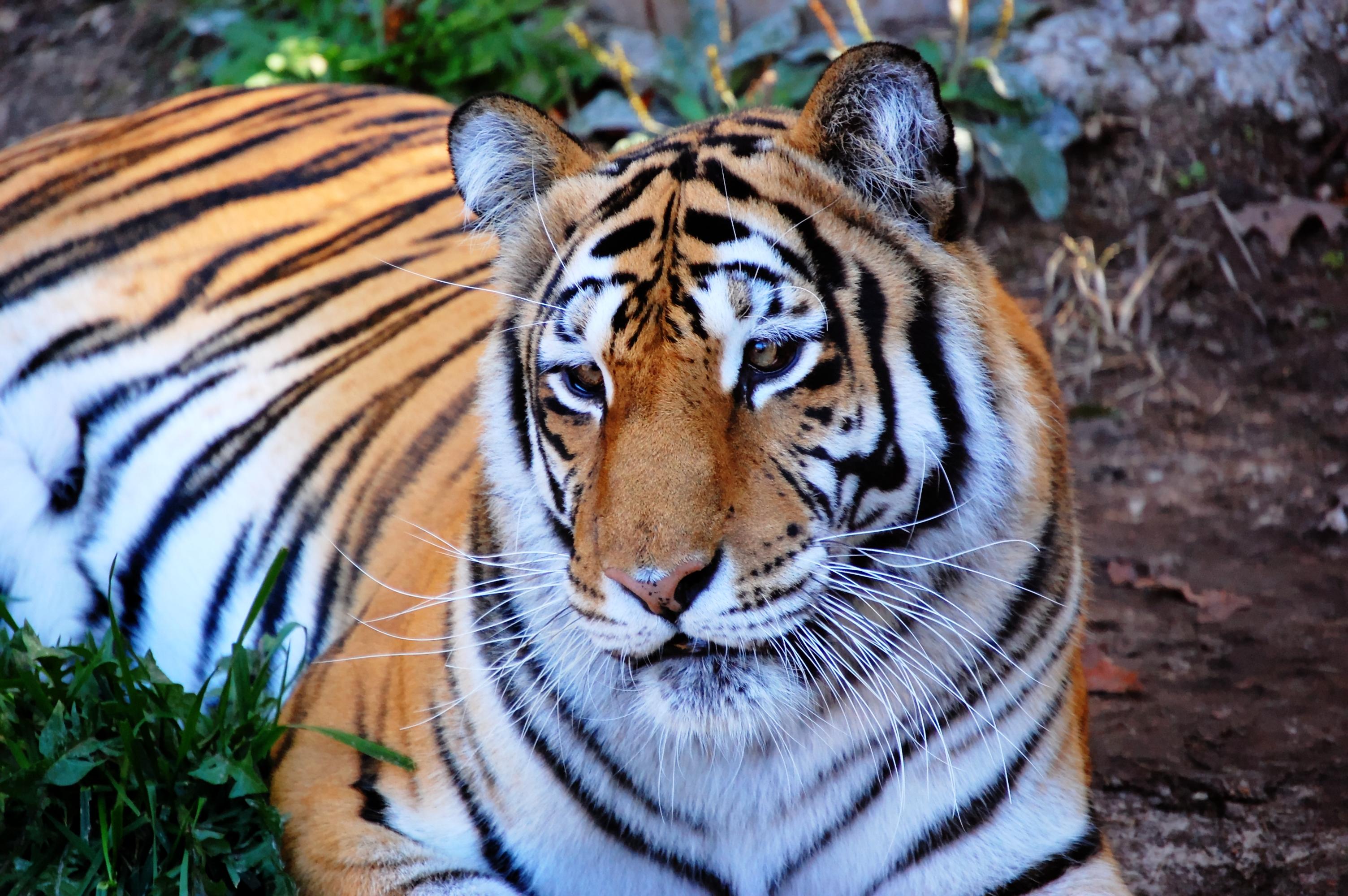 Papel De Parede Animais Natureza Grama Tigre Animais