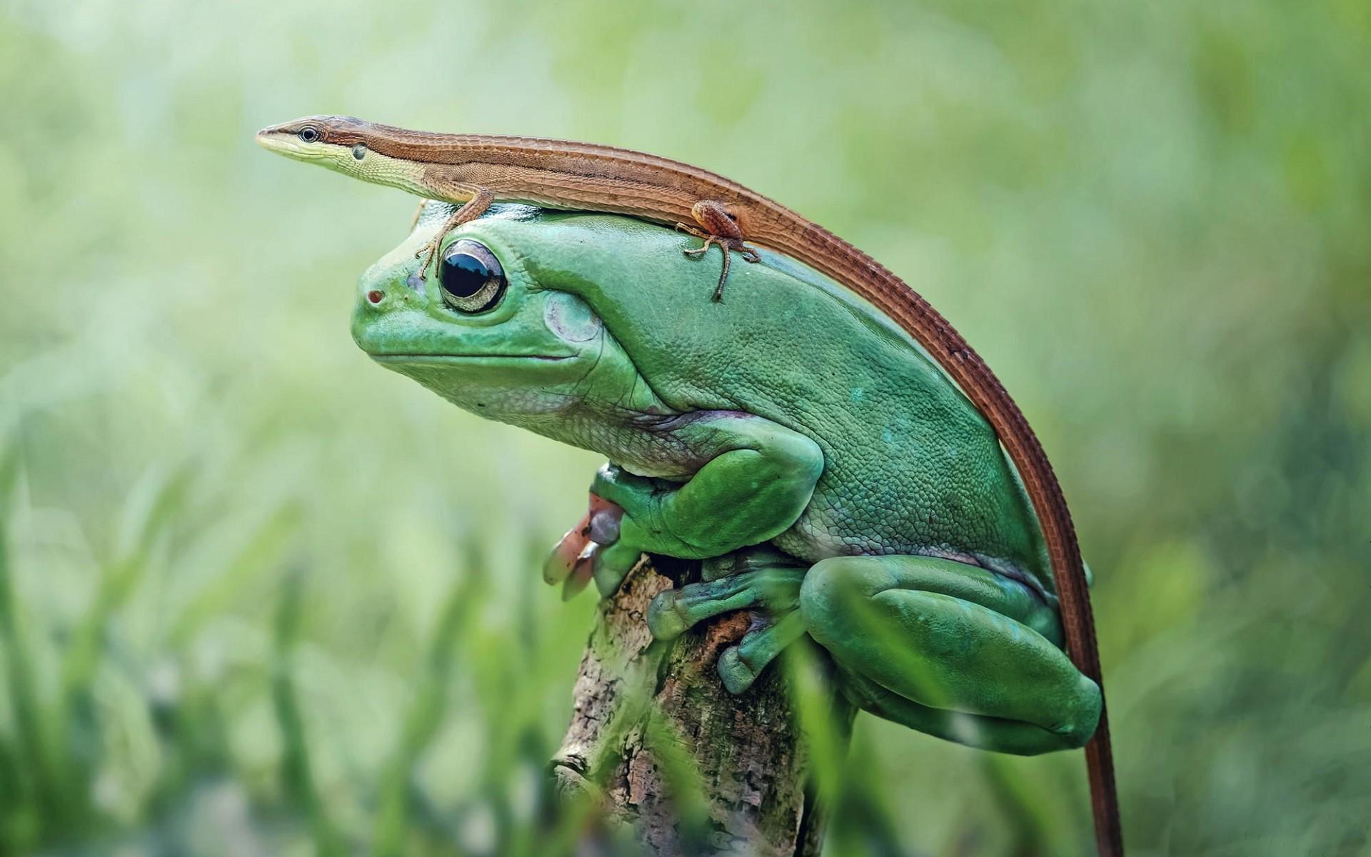 デスクトップ壁紙 自然 トカゲ 閉じる 緑 野生動物 両生類