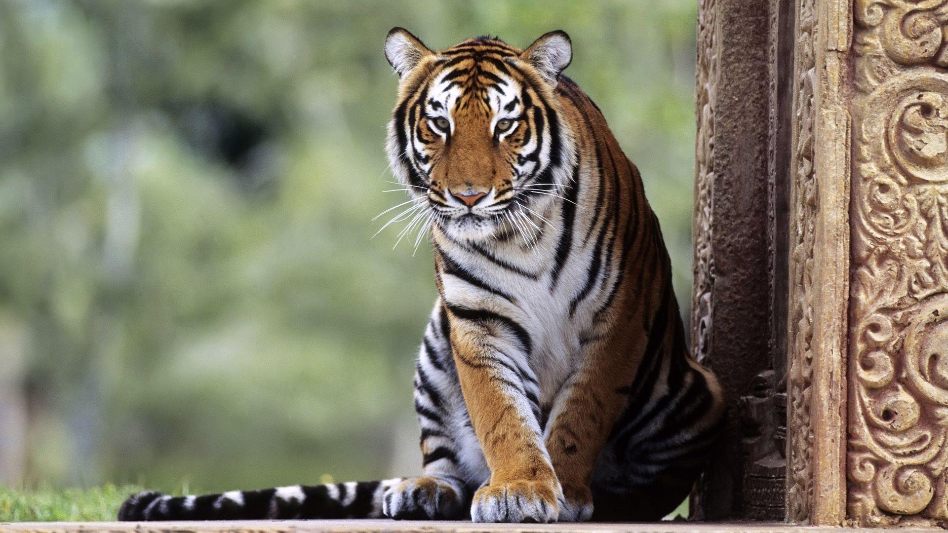 Wallpaper Animals Nature Tiger Wildlife Big Cats Zoo