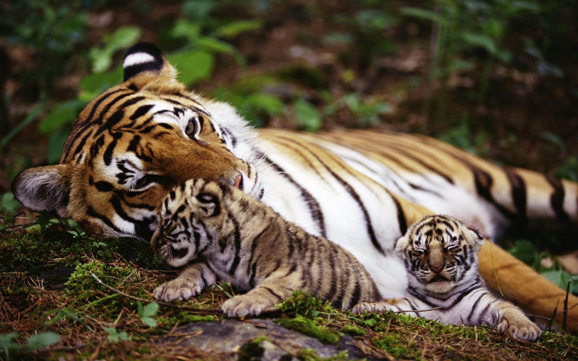 Fotos de portada tigres 86