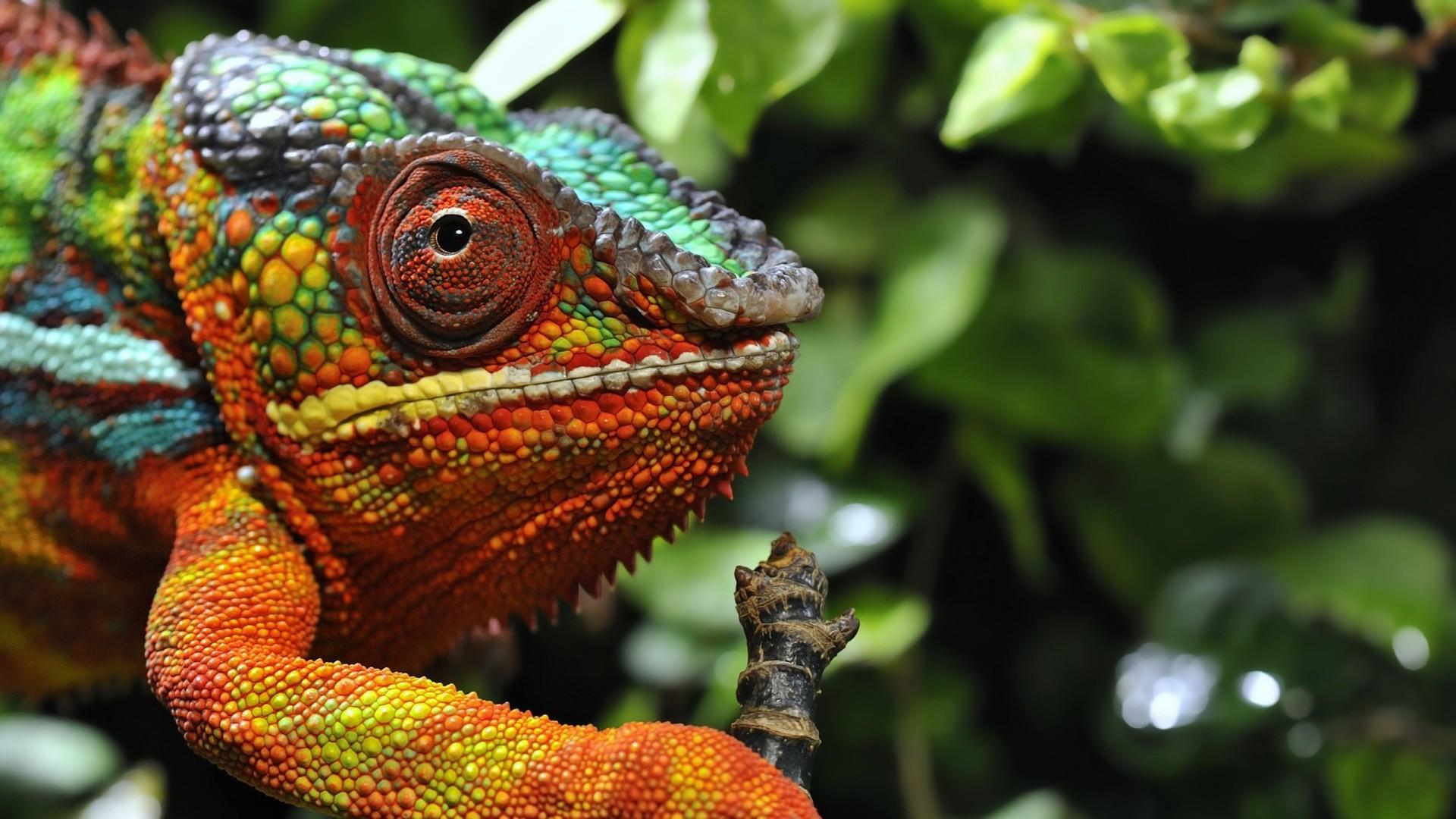 デスクトップ壁紙 自然 野生動物 イグアナ ジャングル トカゲ