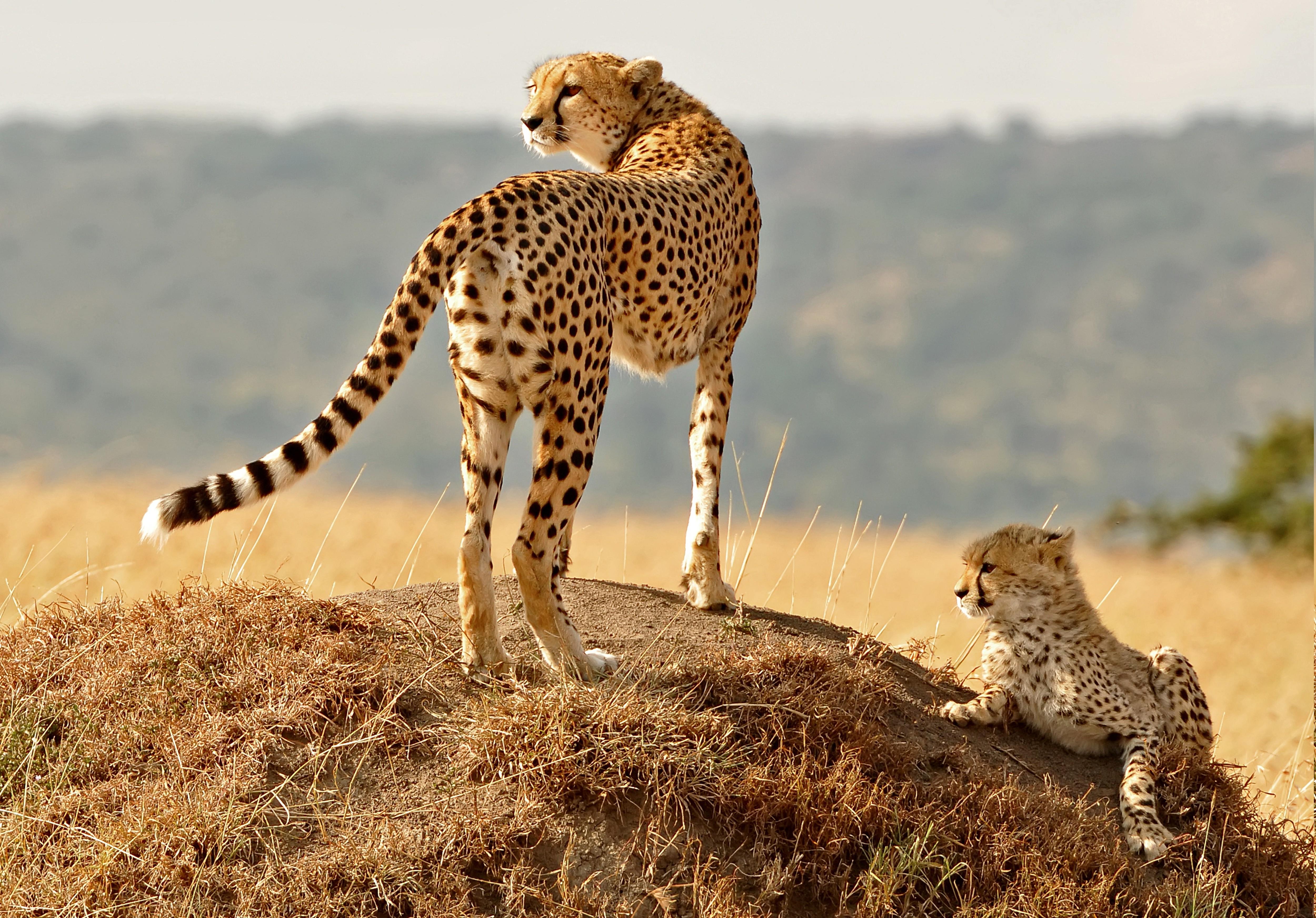 Sfondi animali natura leopardo ghepardo ghepardi for Sfondi animali hd
