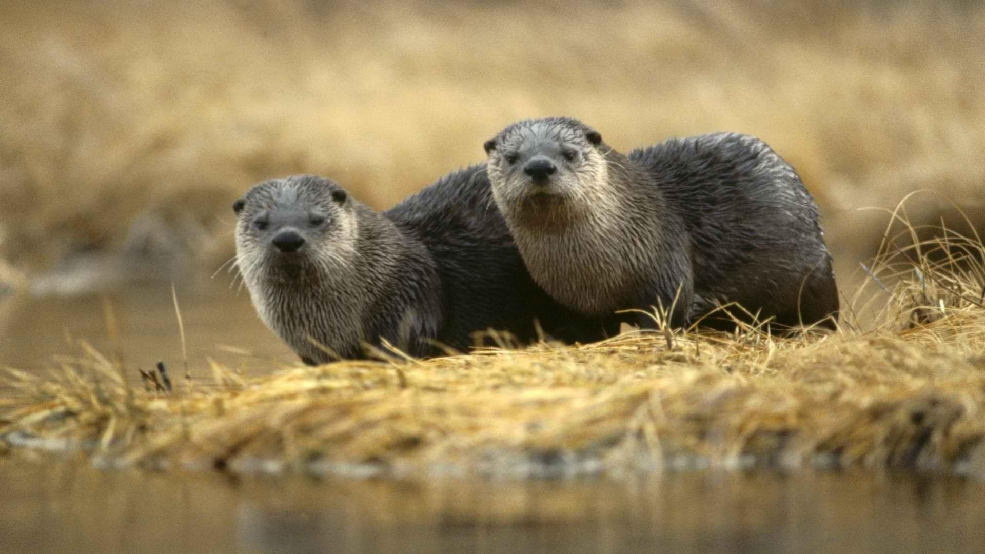 Wallpaper Animals Nature Wildlife Otters Fauna Mammal