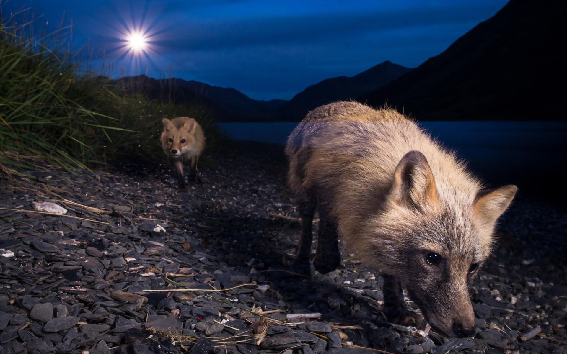Cool Wallpaper Animal Night - animals-night-wildlife-fox-pig-fauna-mammal-1920x1200-px-vertebrate-pig-like-mammal-wild-boar-527098  Snapshot_7649      .jpg
