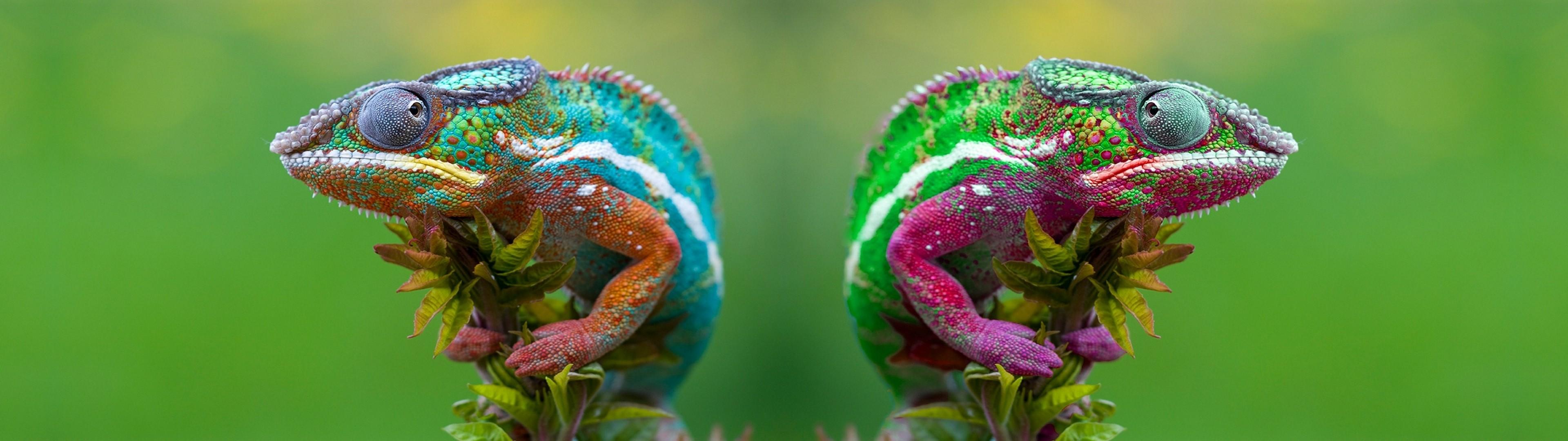 デスクトップ壁紙 写真 緑 カメレオン 葉 花 工場 フローラ