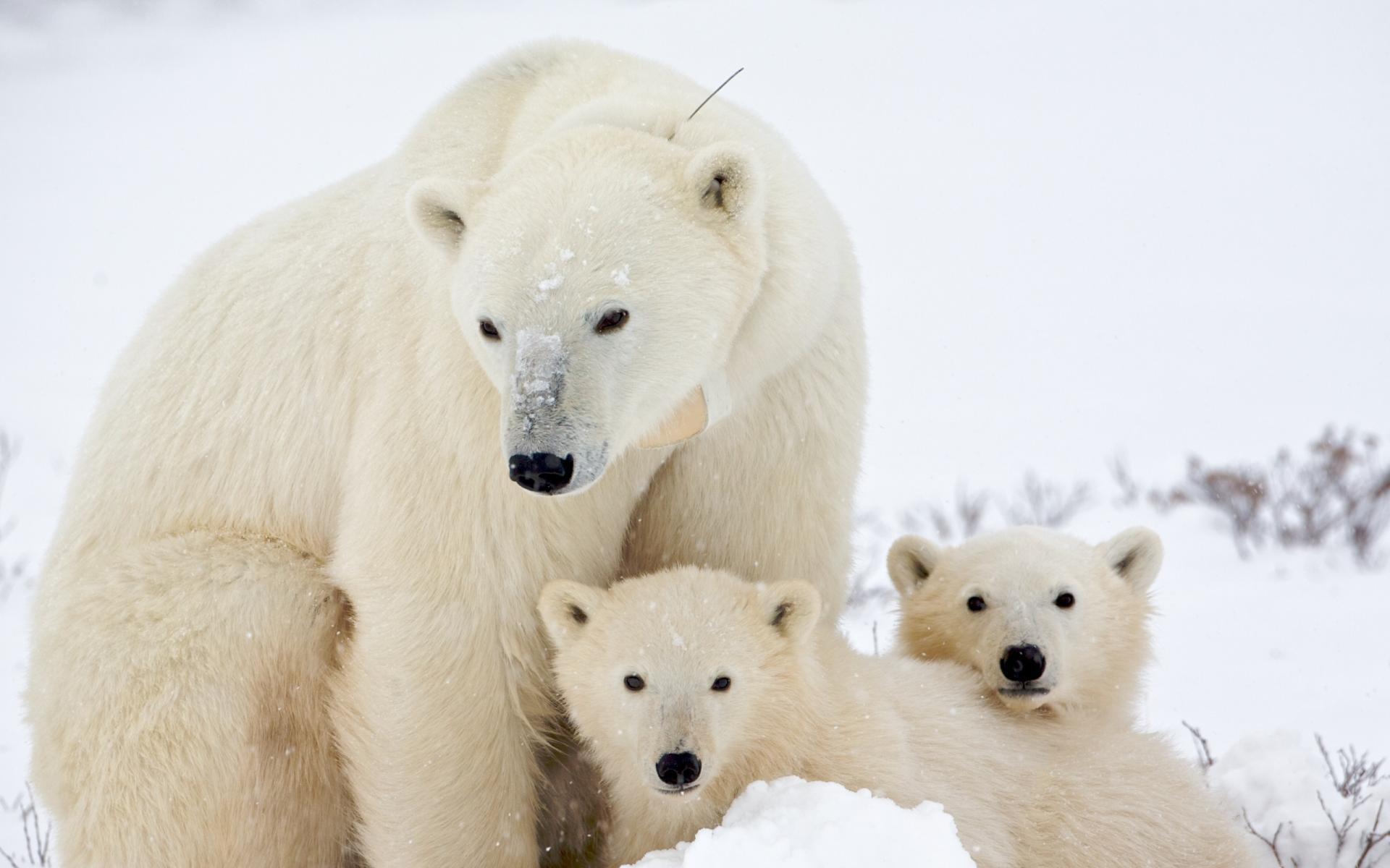 медвежатами с фото медведь белый