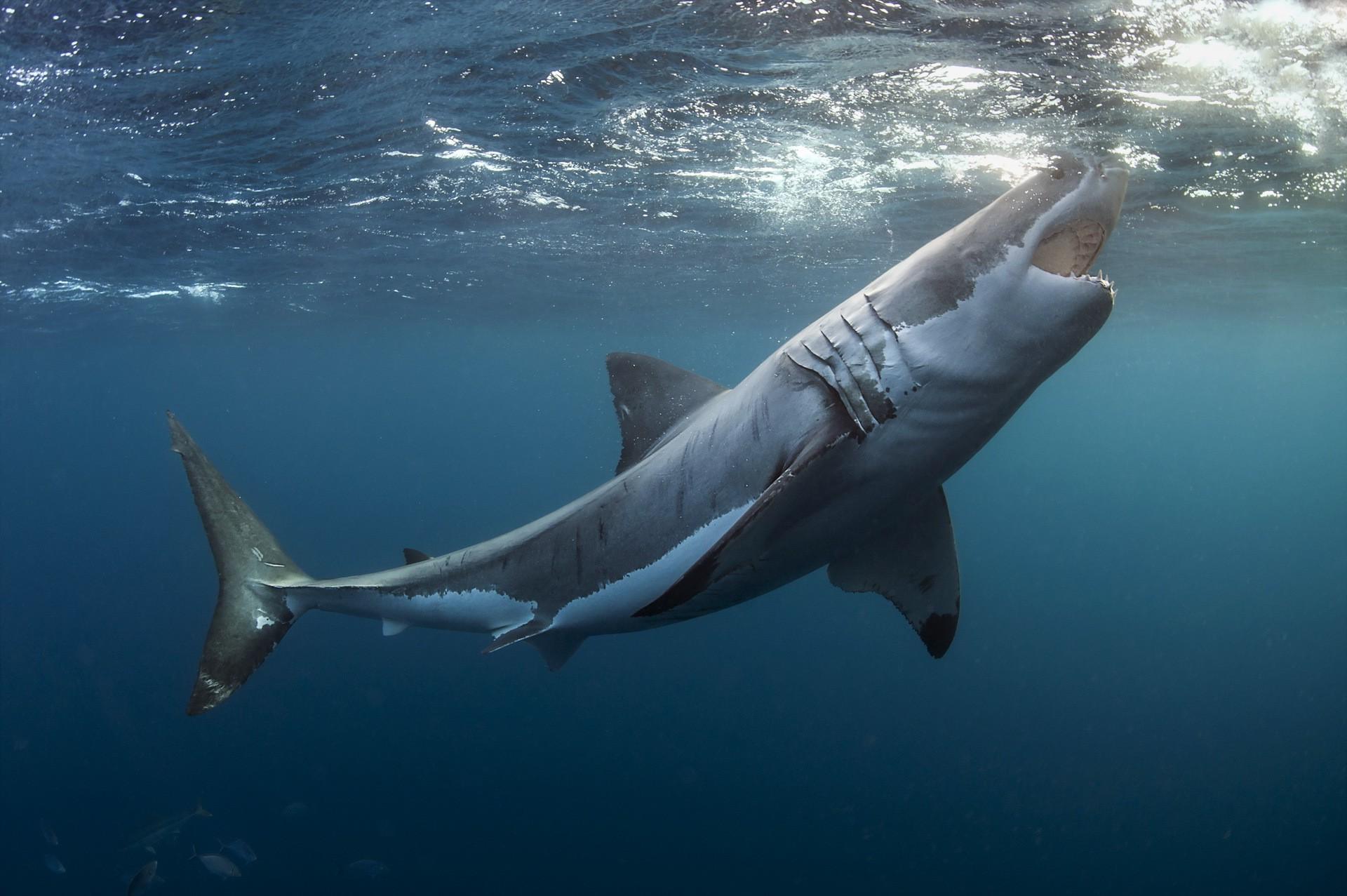 Wallpaper Animals Sea Underwater Great White Shark