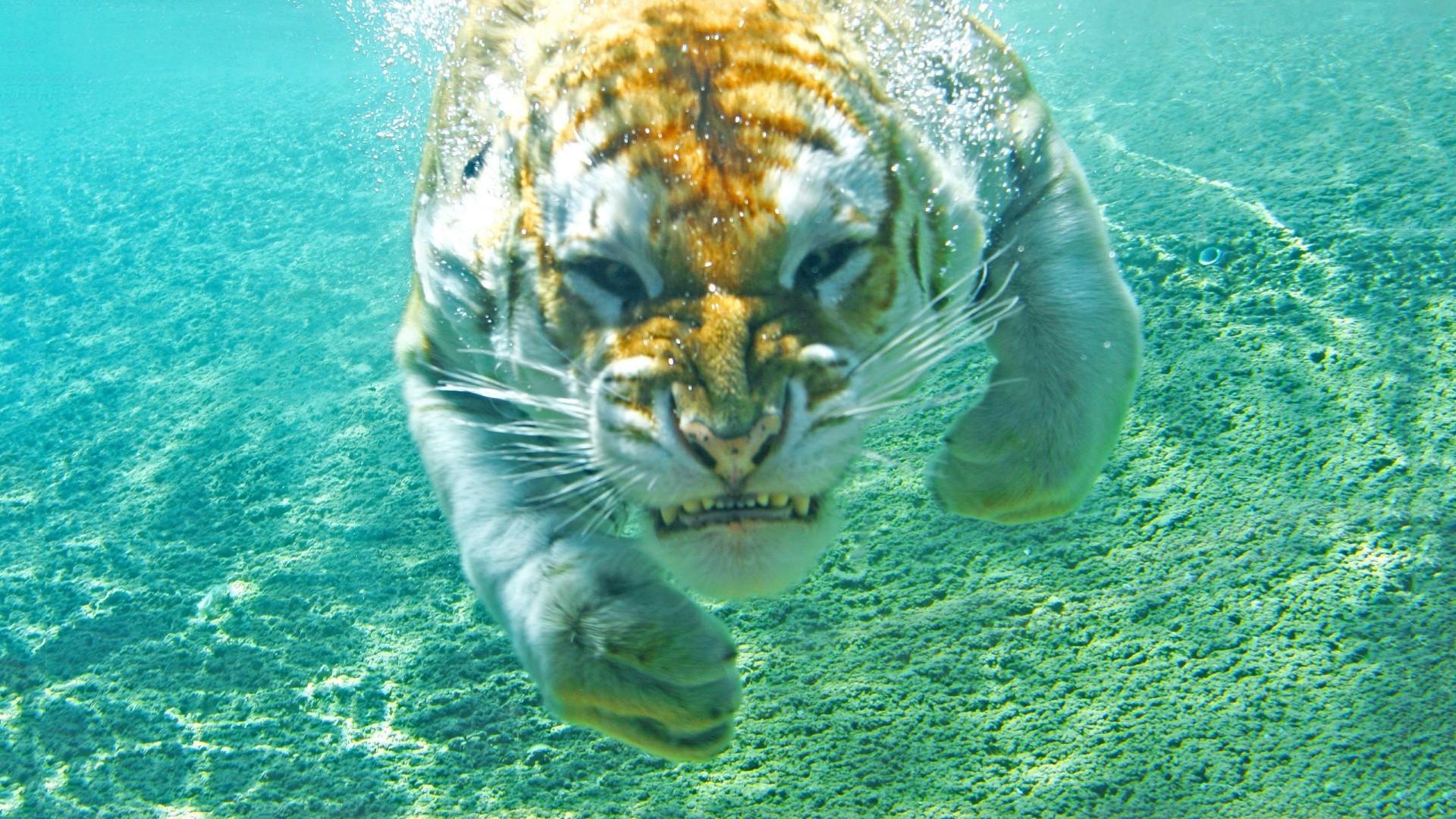 [Jeu] Association d'images Animals-sea-tiger-underwater-biology-fauna-mammal-1920x1080-px-marine-biology-organism-624938