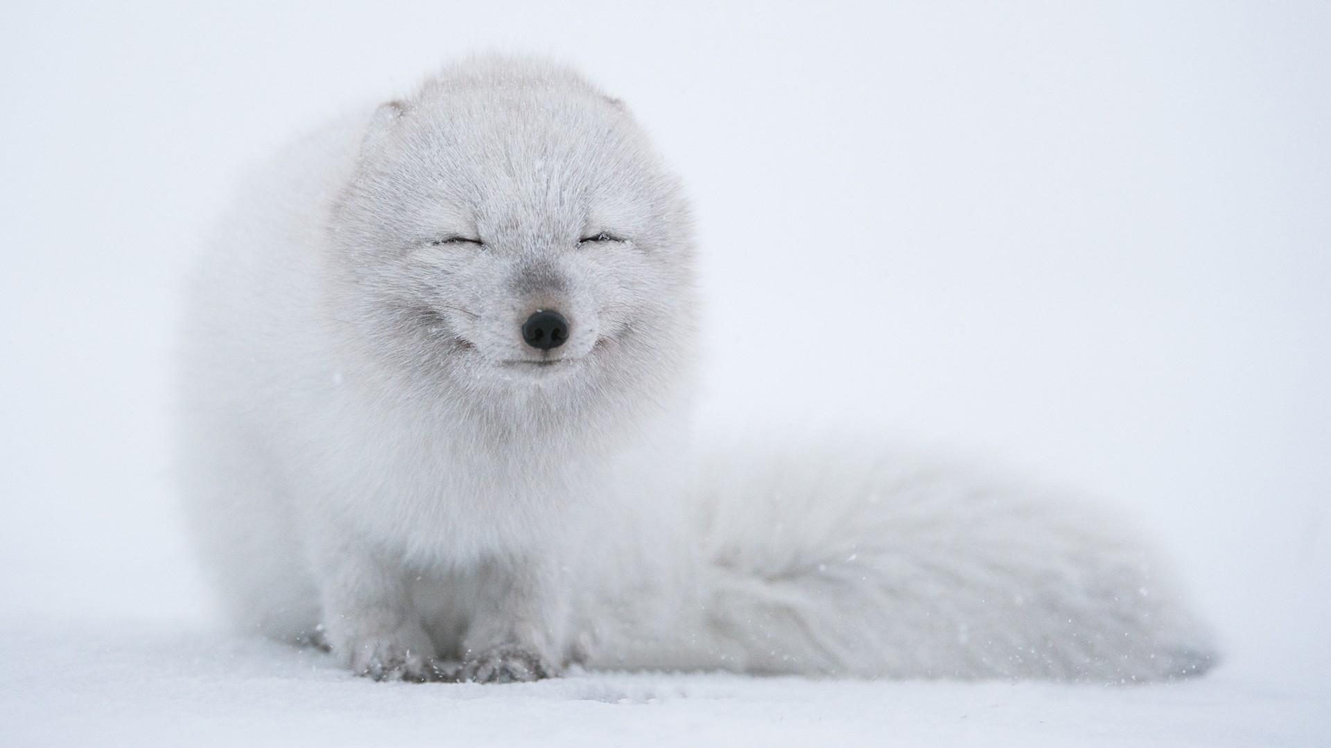 Animals Snow Fox Arctic Weather Mammal 1920x1080 Px Vertebrate Polar Bear Dog Like