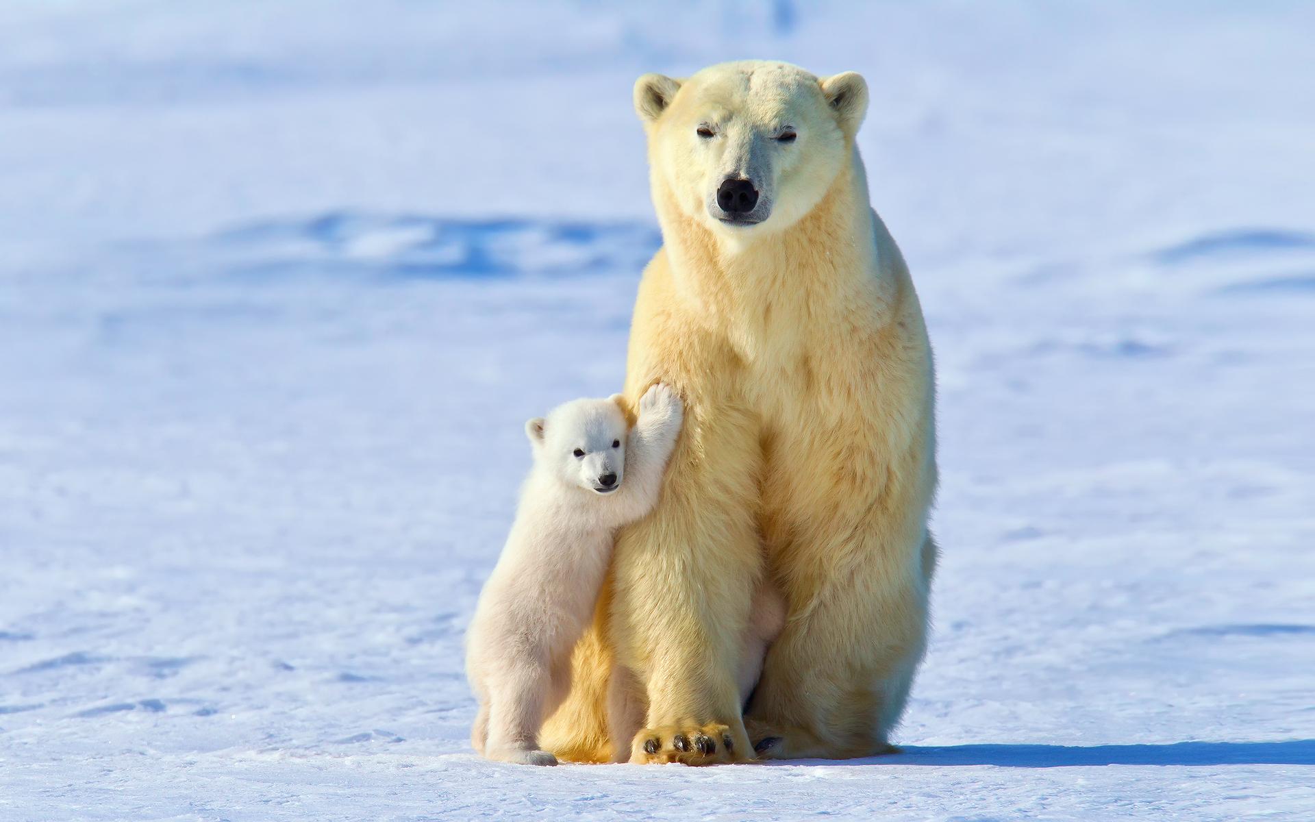Wallpaper : snow, ice, polar bears, baby animals, Arctic ...