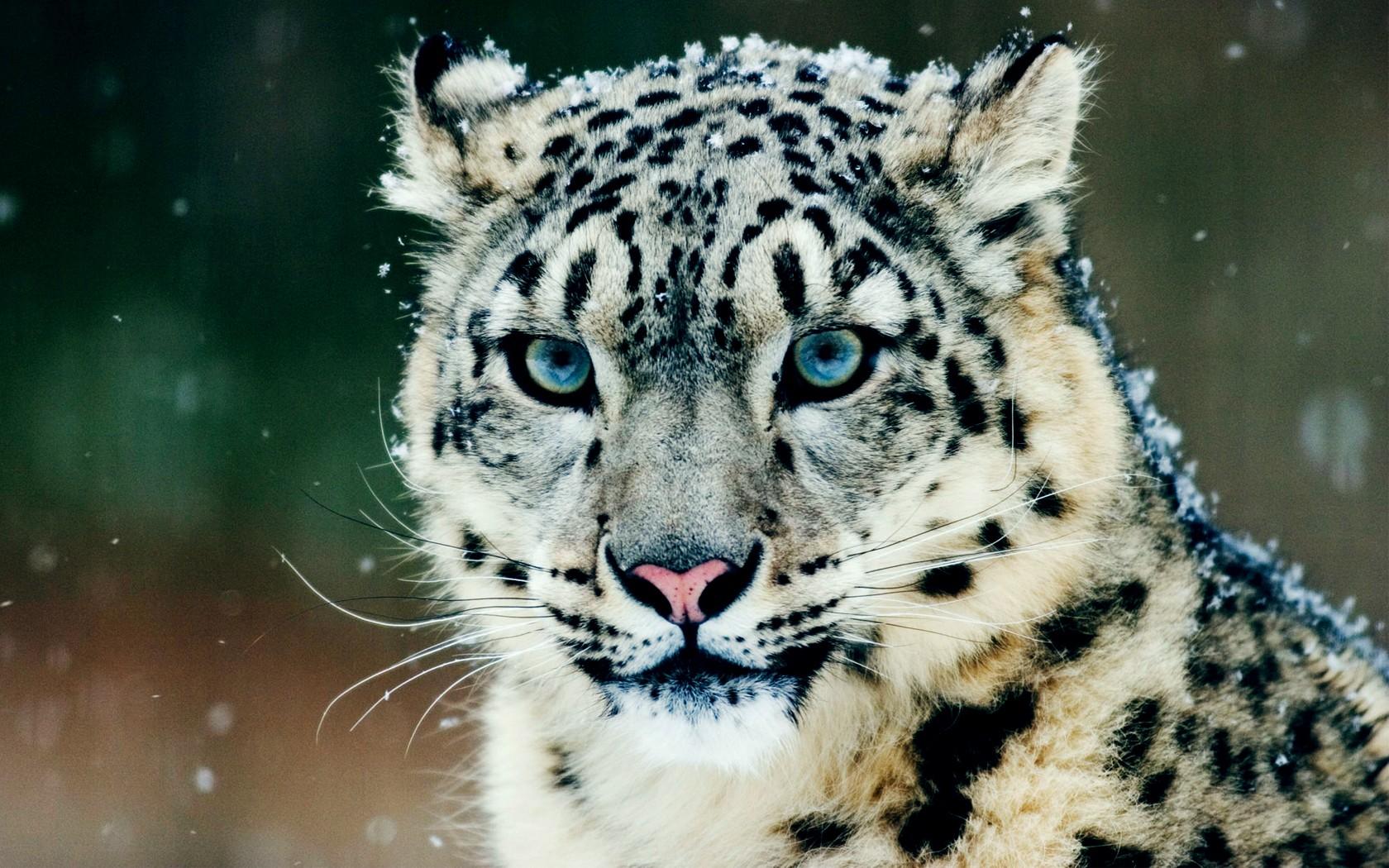 Wallpaper Harimau Margasatwa Kucing Besar Cambang Macan Tulul