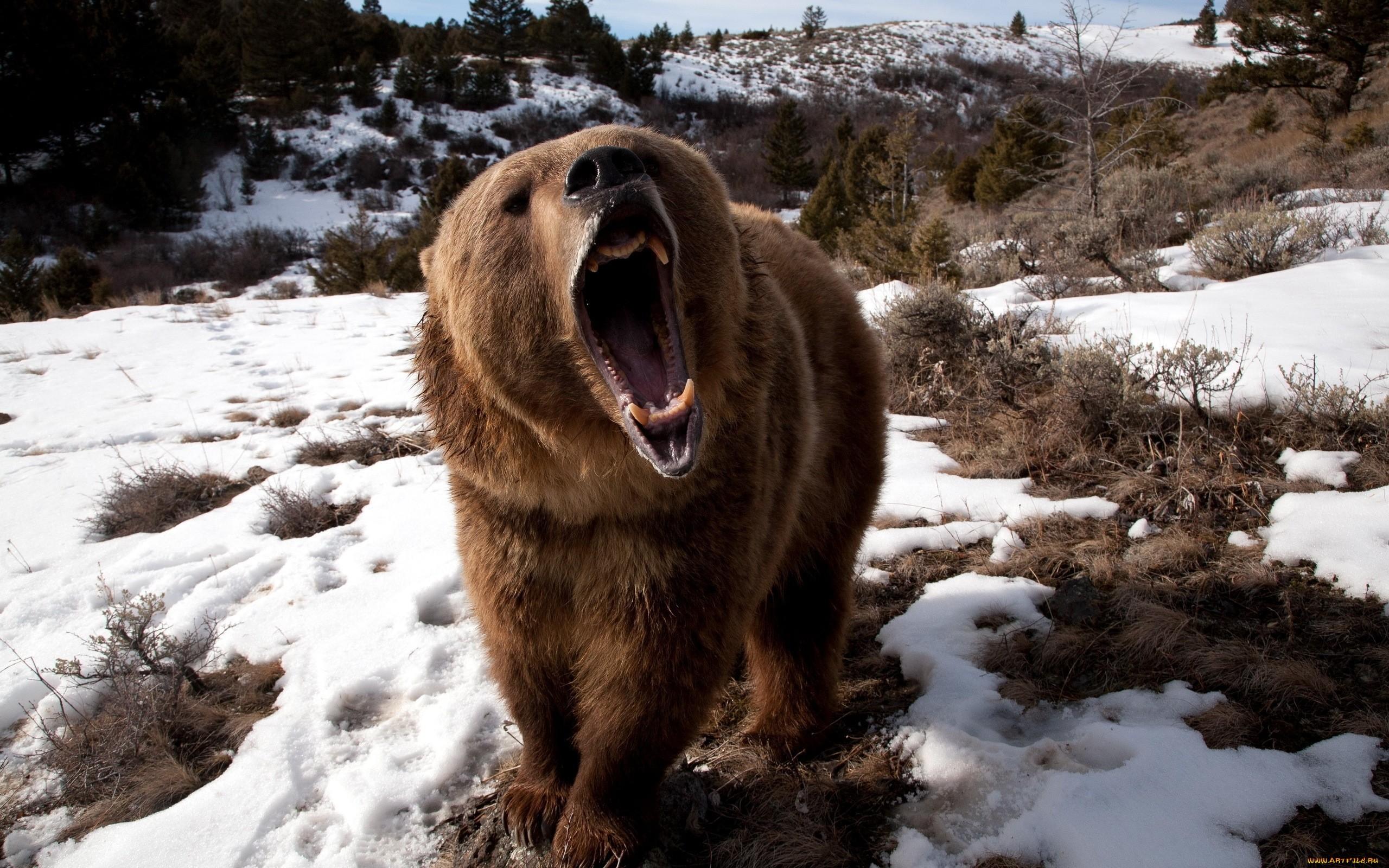 wallpaper animals snow winter lion wildlife bears. Black Bedroom Furniture Sets. Home Design Ideas