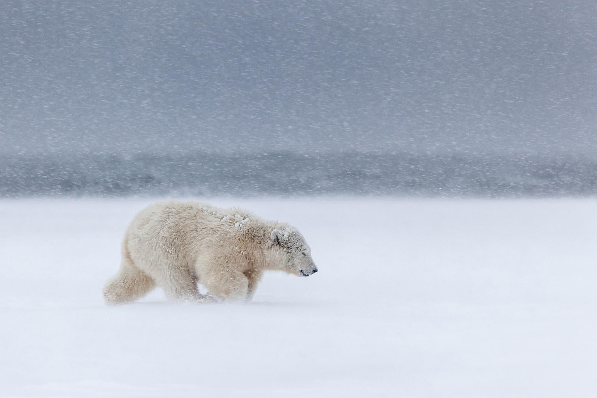 Animals Snow Winter Polar Bears Arctic Mammals Fox Freezing Grizzly Bear Tundra Weather Mammal