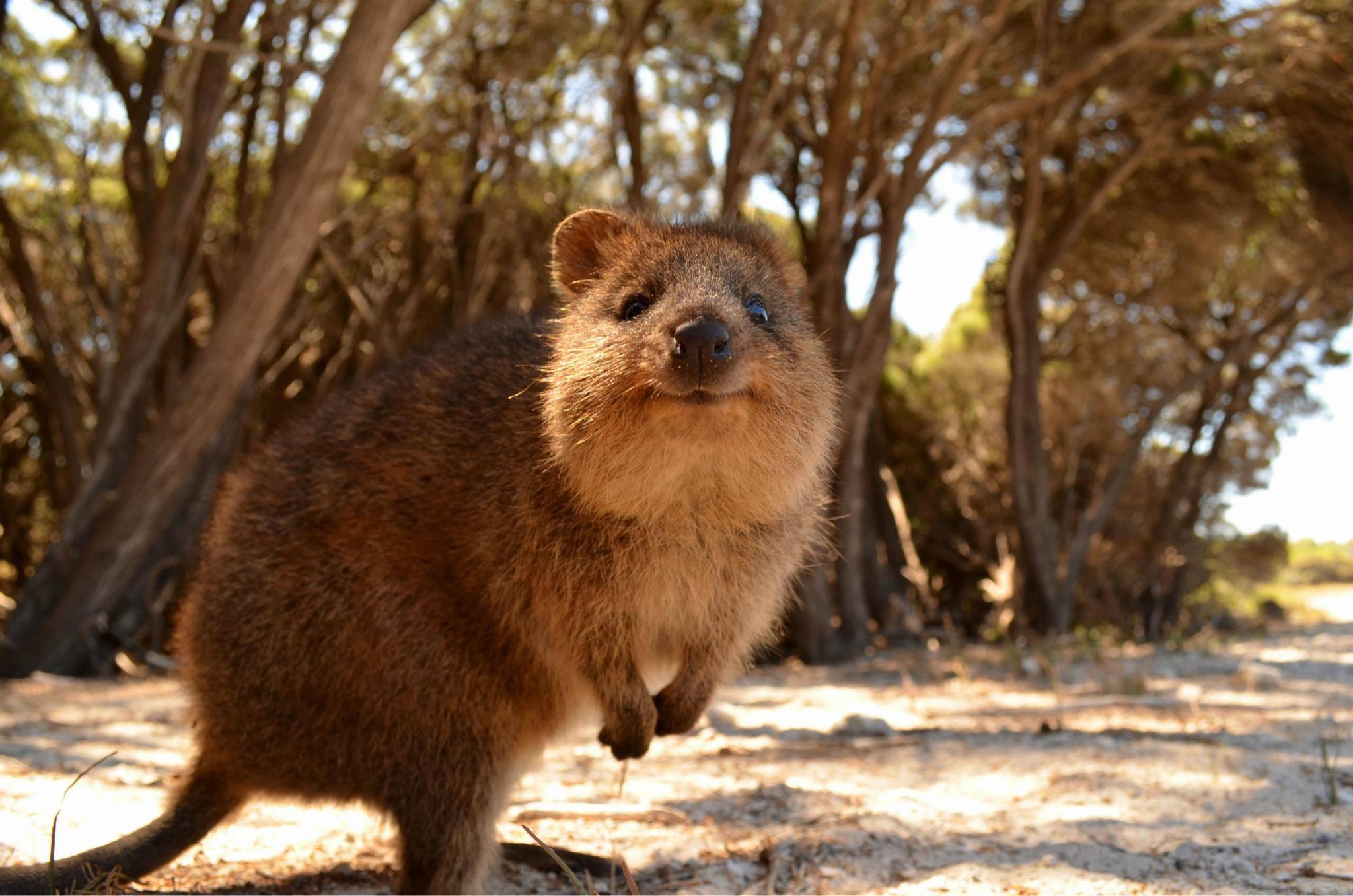 Baggrunde : dyr, dyreliv, whiskers, Australien, gnaver, Quokka, fauna, pattedyr, hvirveldyr, ræv ...