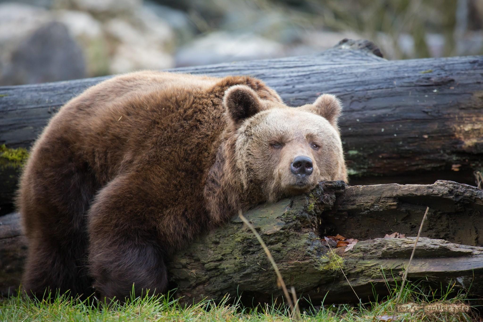 Sfondi : Animali, Natura, Orsi, Zoo, Orso Grizzly, Orso