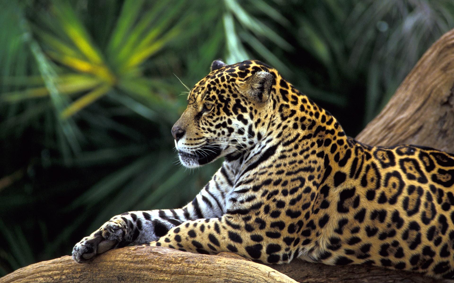 Jaguar  15 amazing camouflaged animals  MNN  Mother