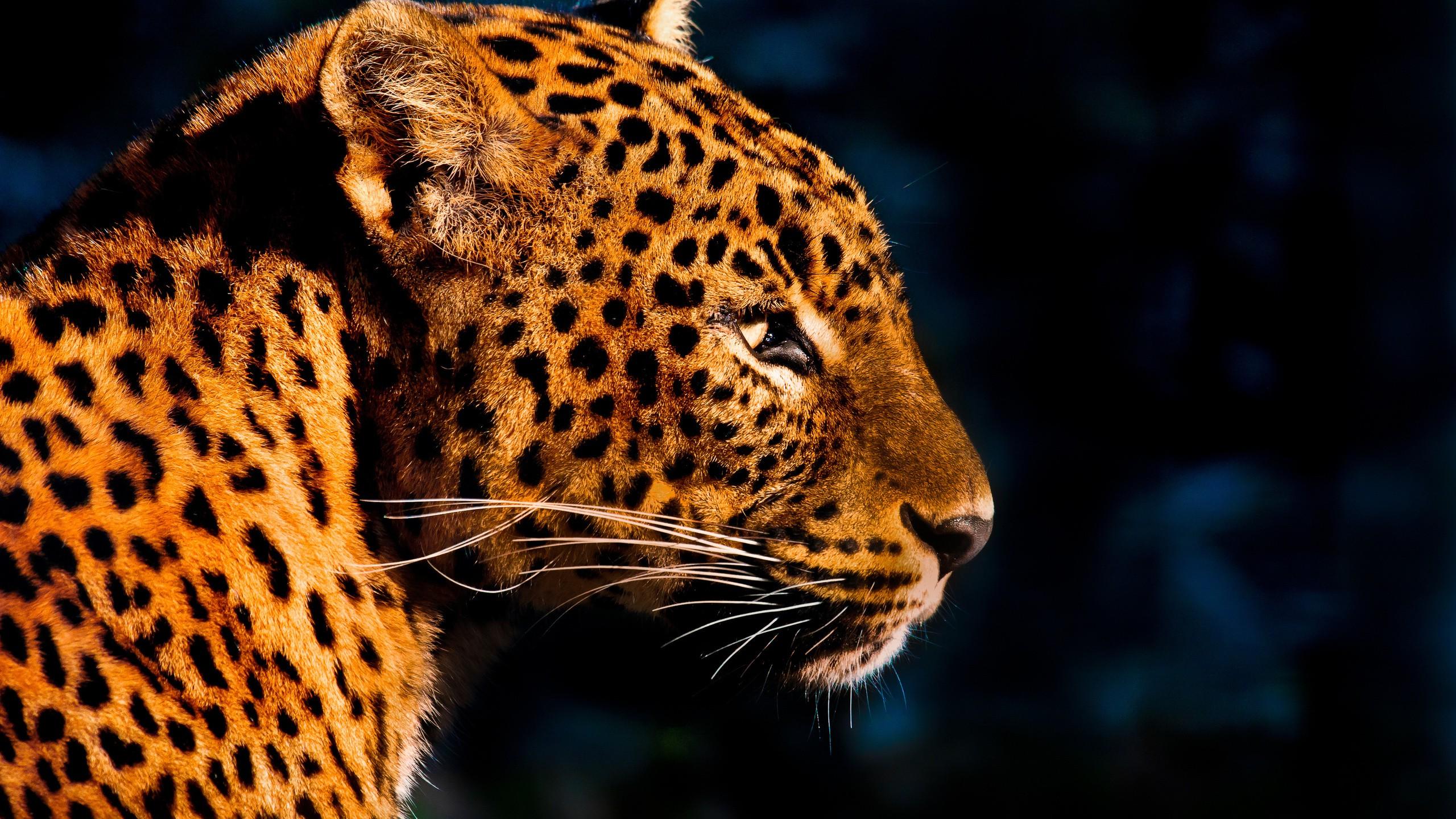 Wallpaper Animals Wildlife Big Cats Whiskers Leopard Jaguar Cheetah 2560x1440 Px Cat Like Mammal Snout Carnivoran Organism Terrestrial Animal 2560x1440 Wallpaperup 771243 Hd Wallpapers Wallhere