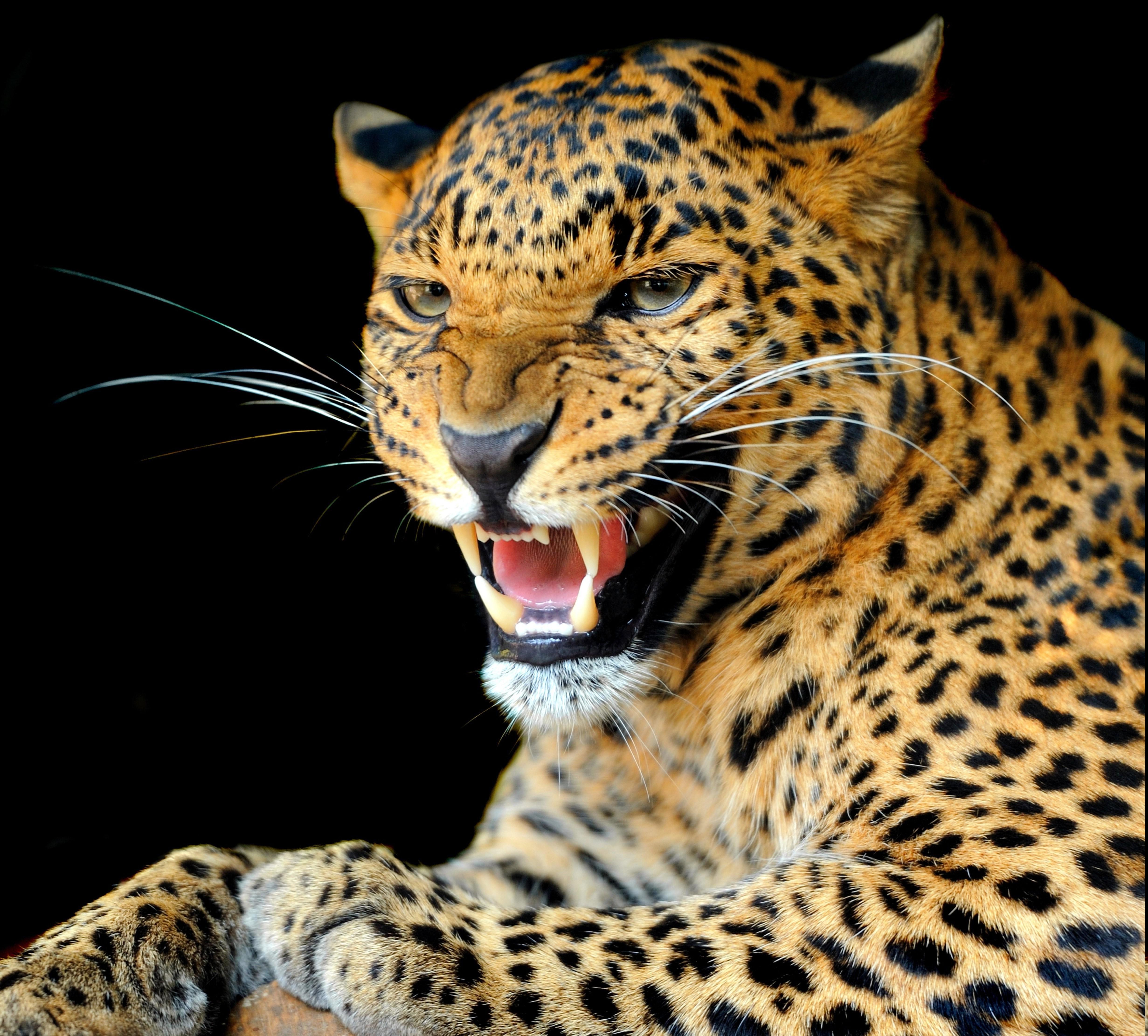 Jaguar Wild Animal: Wallpaper : Animals, Wildlife, Big Cats, Whiskers, Leopard