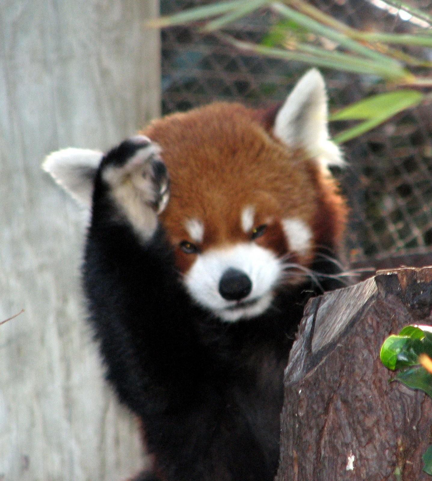 Fondos De Pantalla : Animales, Fauna Silvestre, Panda
