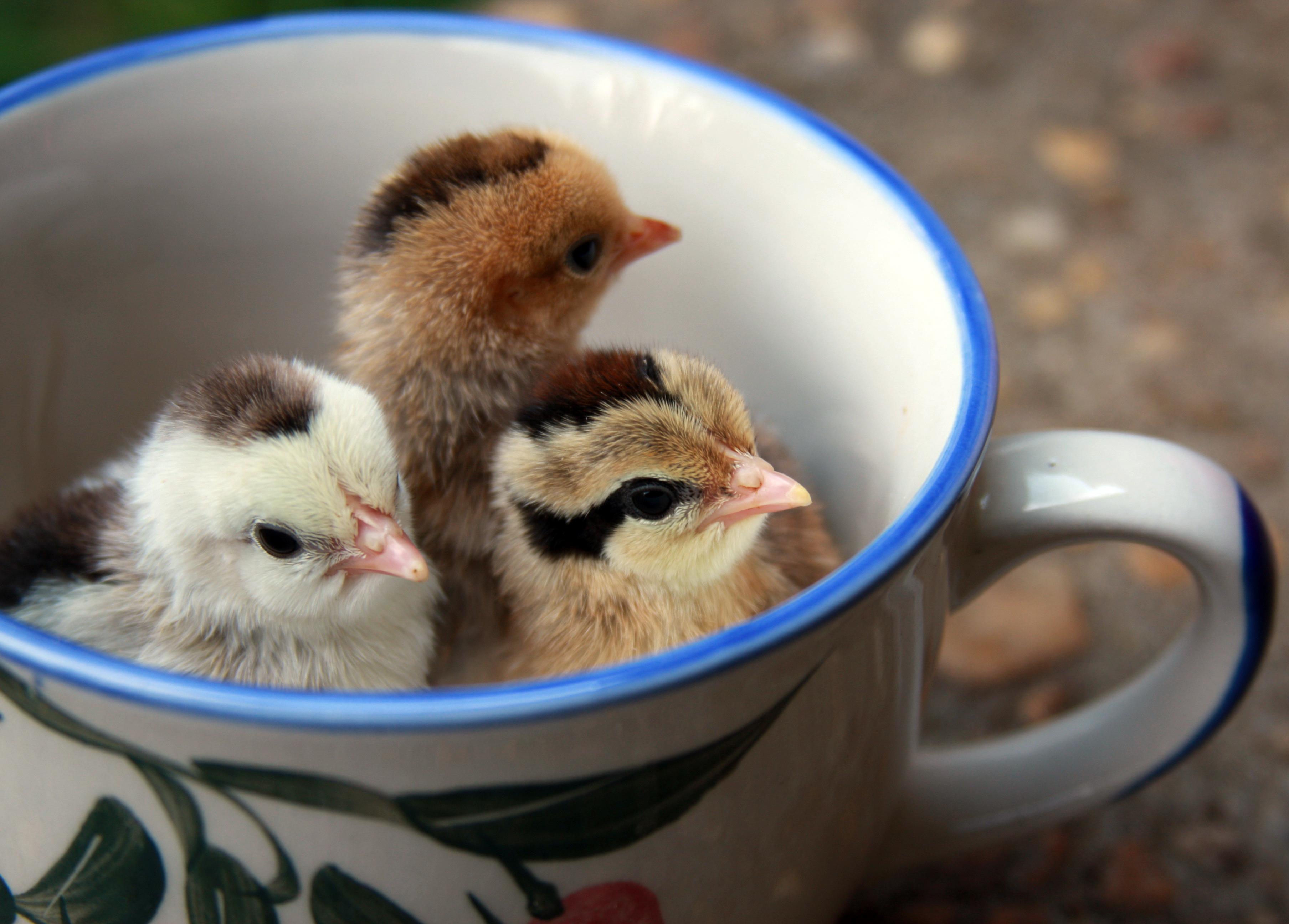 Wallpaper Baby Cute Chickens Chicks Omot Bantems
