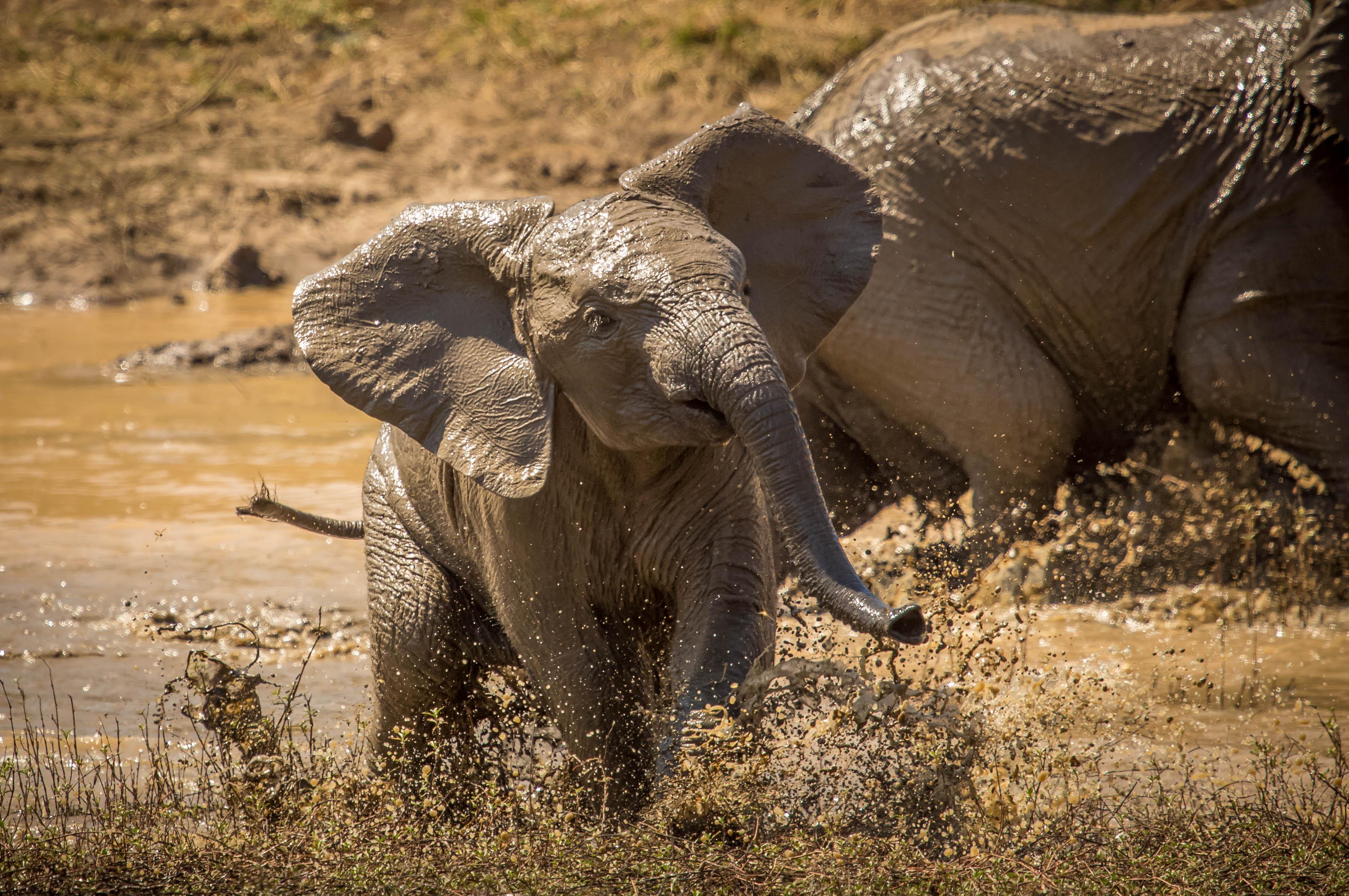 Fond D Ecran Bebe Elephant Nord Ouest Veau Pilanesburg