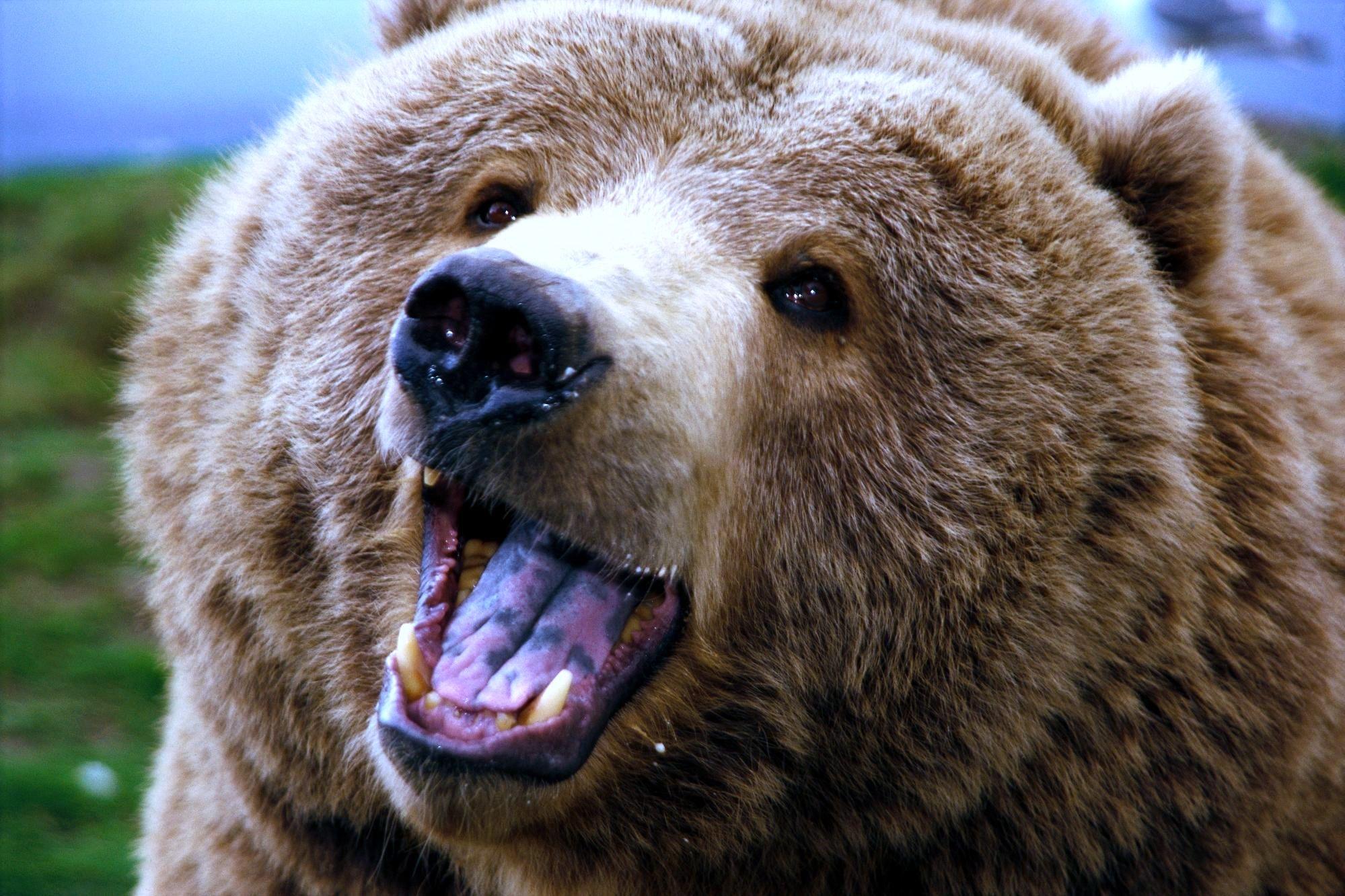 Hintergrundbilder : Bär, Gesicht, Aggression, gähnen