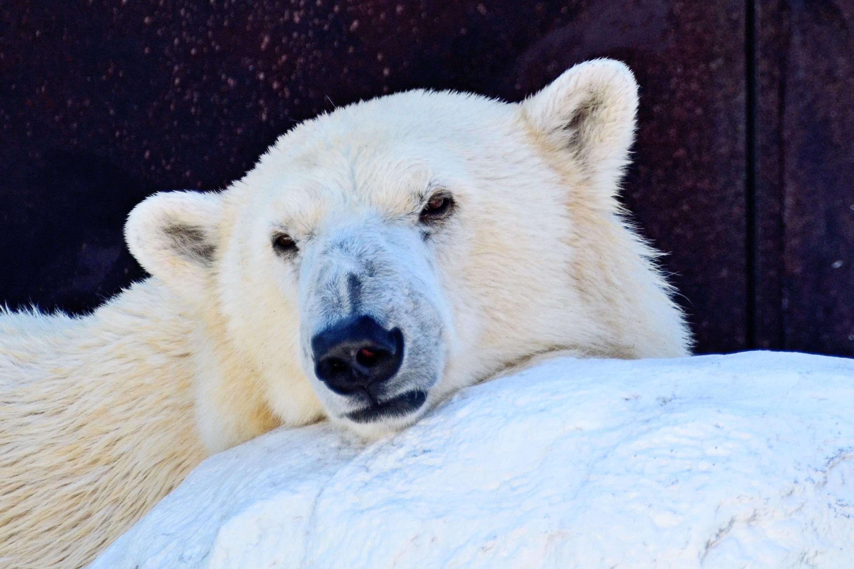 48 Gambar Hewan Panda Yang Cantik Gratis Terbaru