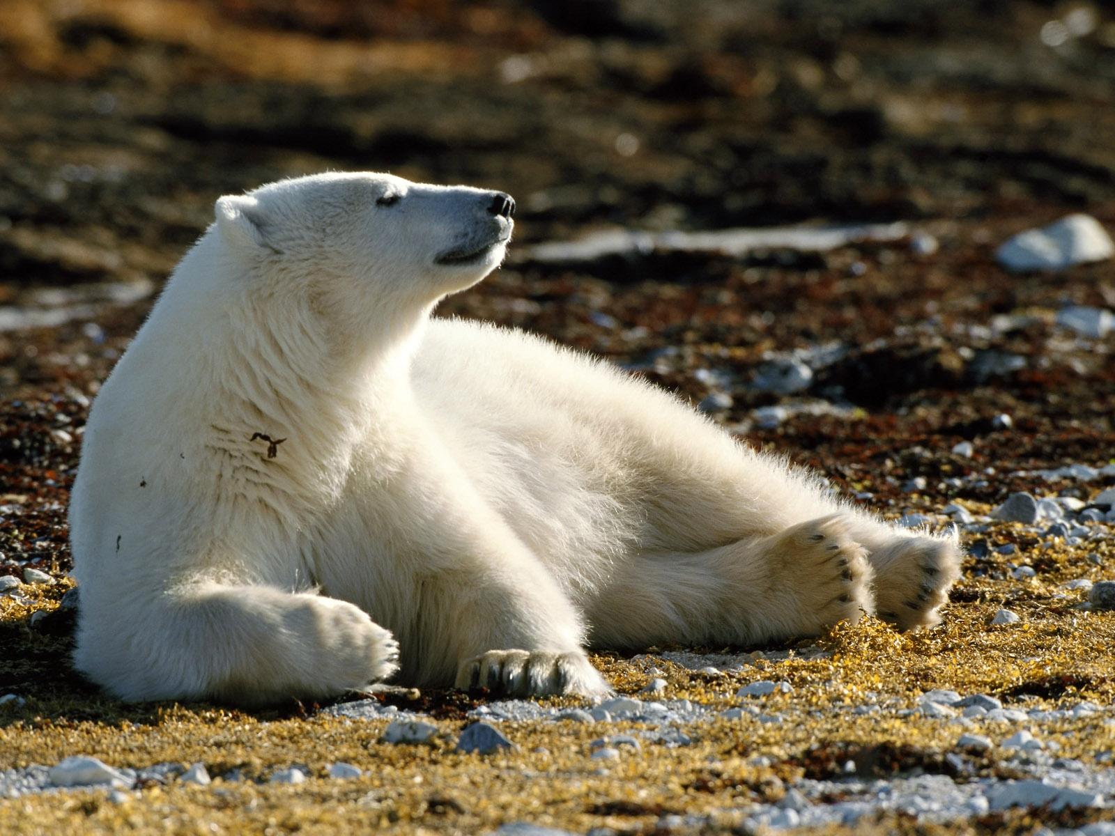 Белый медведь животное картинки