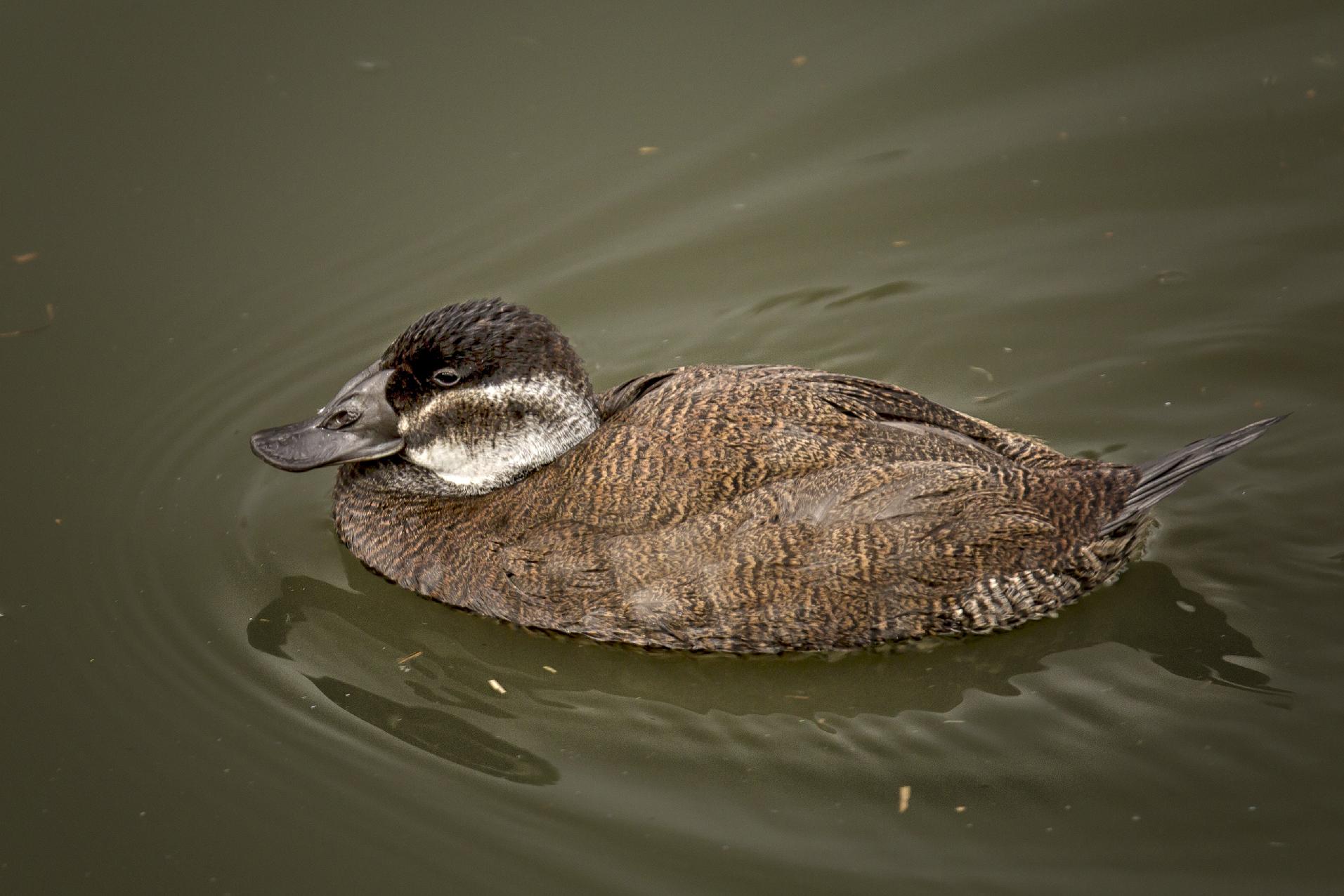 Bird Duck Fauna Water Beak Ducks Geese And Swans Waterfowl Mallard Feather Seaduck Wildlife