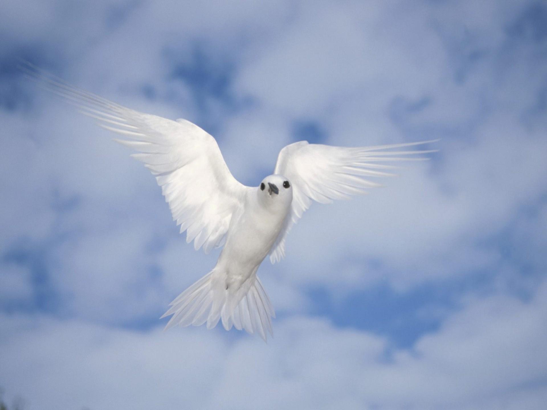 Картинки белый голубь в полете