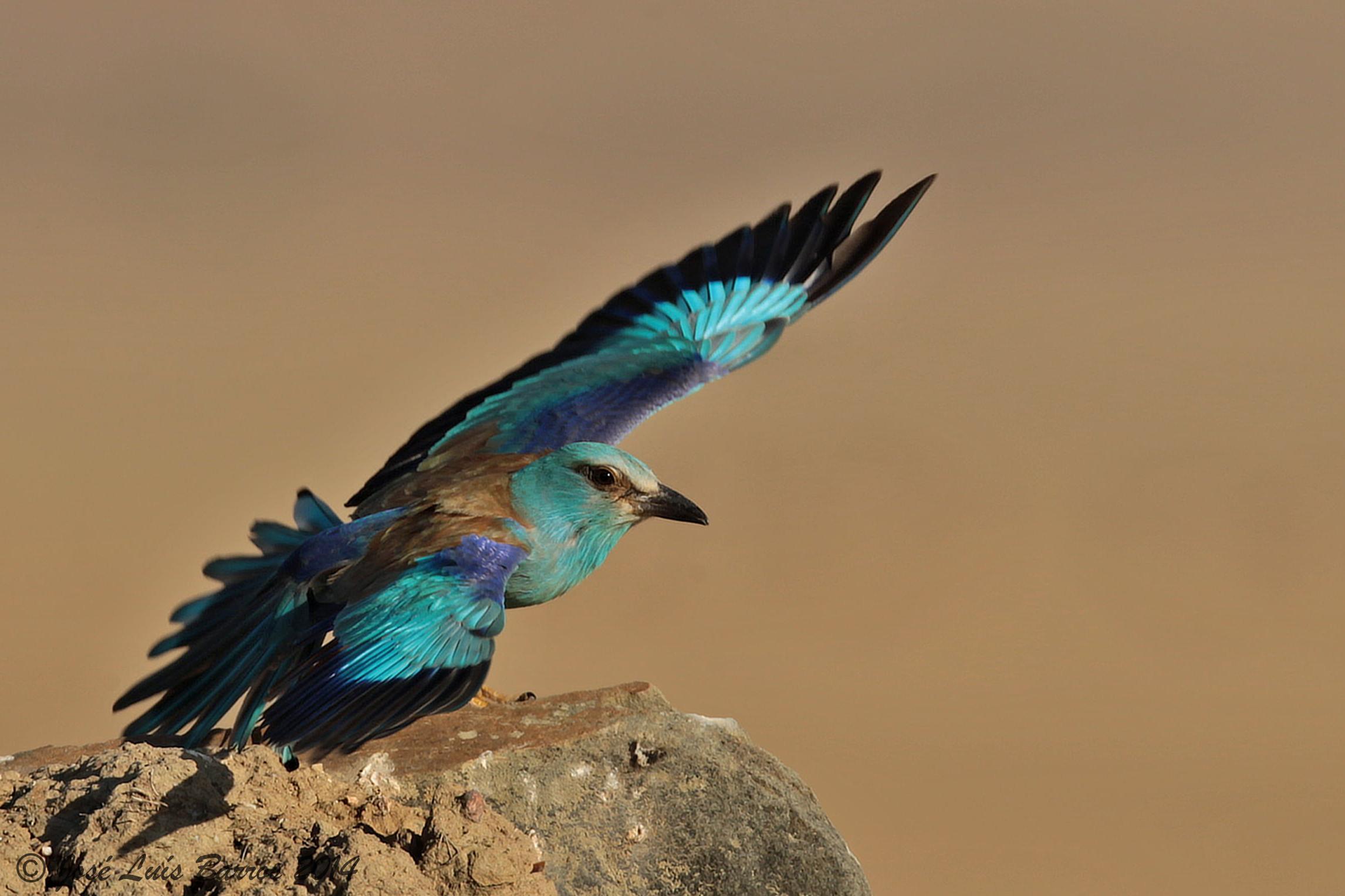 Fond D Ecran Rouleau Faune Plume Le Bec Oiseau Bleu Aile Geai 2292x1528 903818 Fond D Ecran Wallhere
