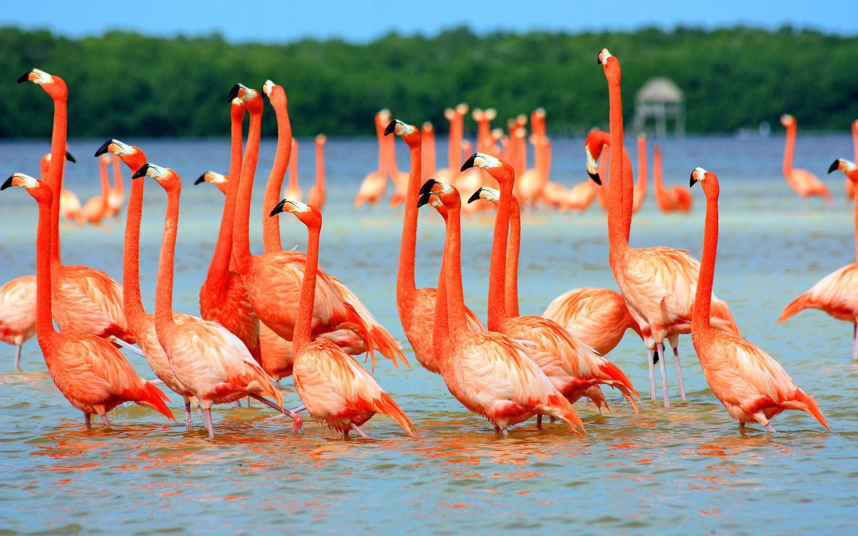 Wallpaper Burung Burung Hewan Danau Alam Flamingo Paruh