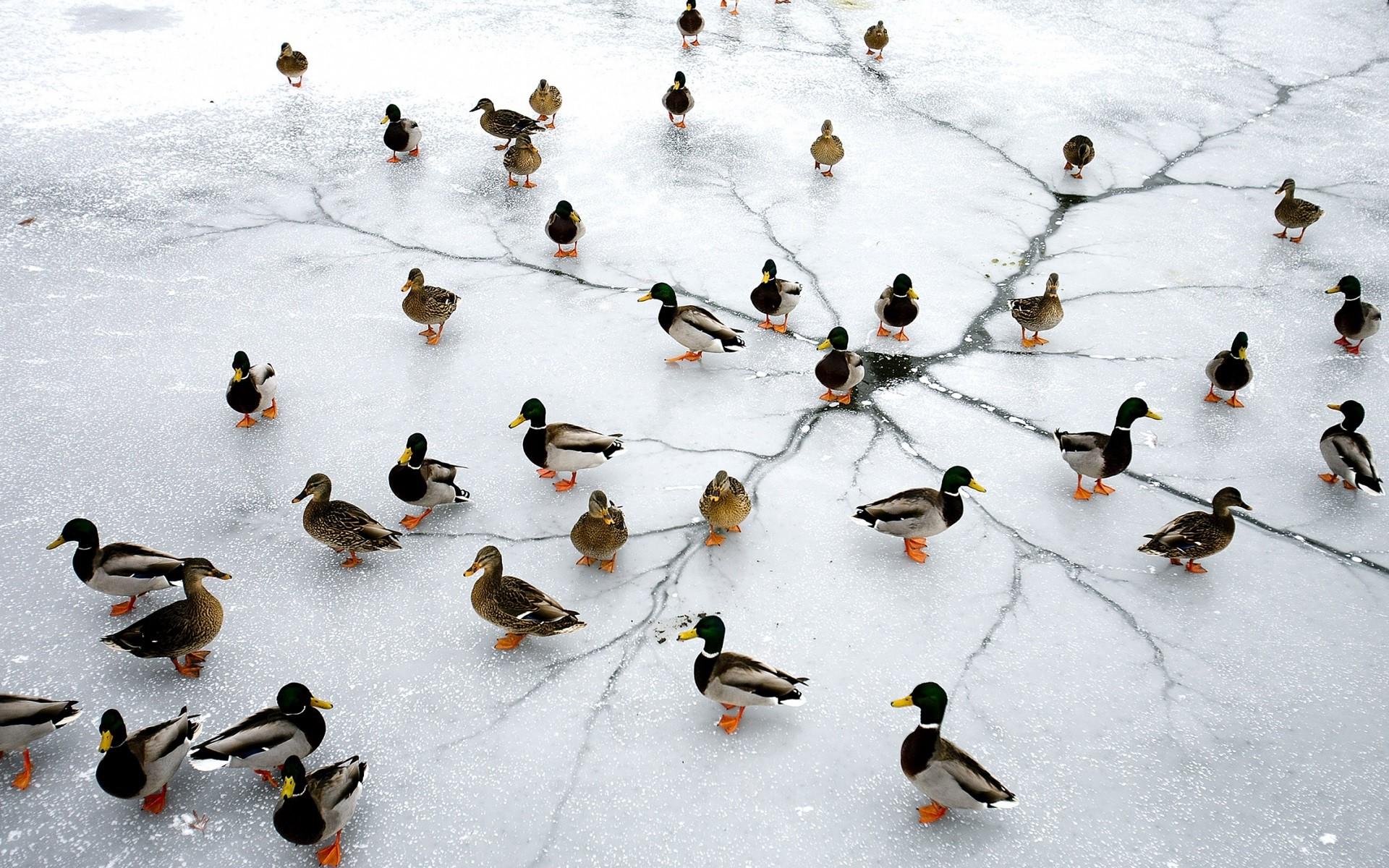 Birds Animals Lake Nature Winter Ice Frozen Wildlife Duck Leaf Bird Flock Wing Fauna 1920x1200