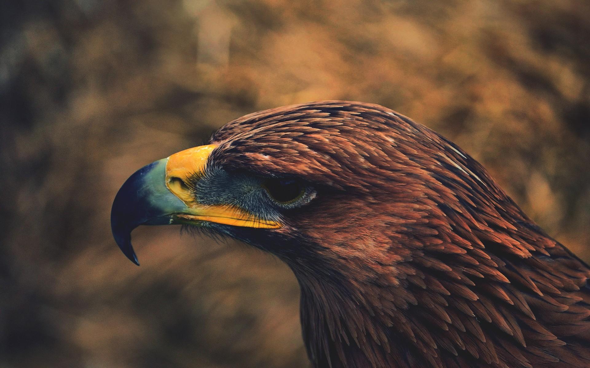 デスクトップ壁紙 : 鳥, 自然, 褐色, 野生動物, 鷹, 猛禽, 鷲, 白頭ワシ