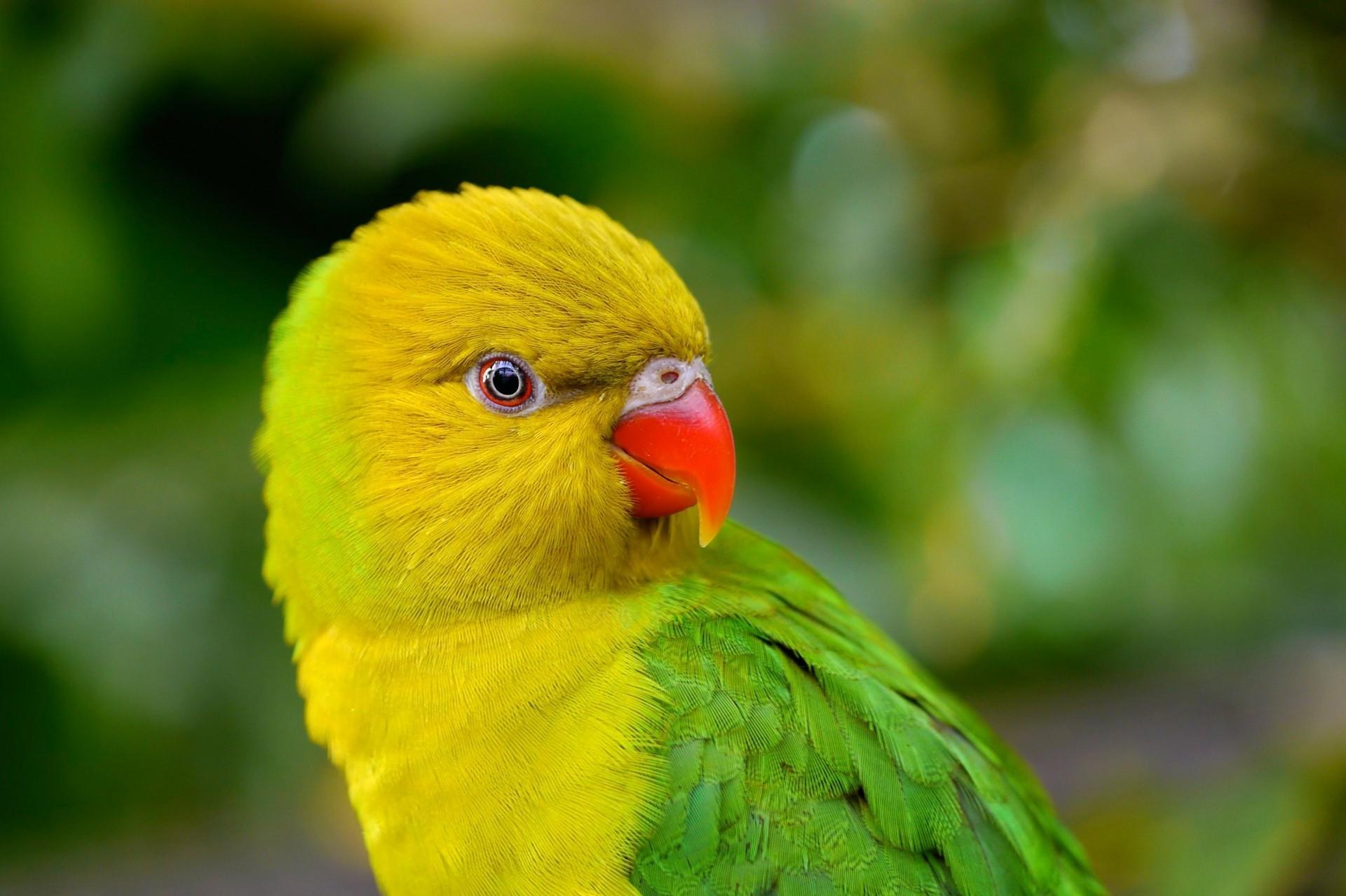 hintergrundbilder v gel tiere papagei gr n gelb tierwelt schnabel blume vogel fauna. Black Bedroom Furniture Sets. Home Design Ideas