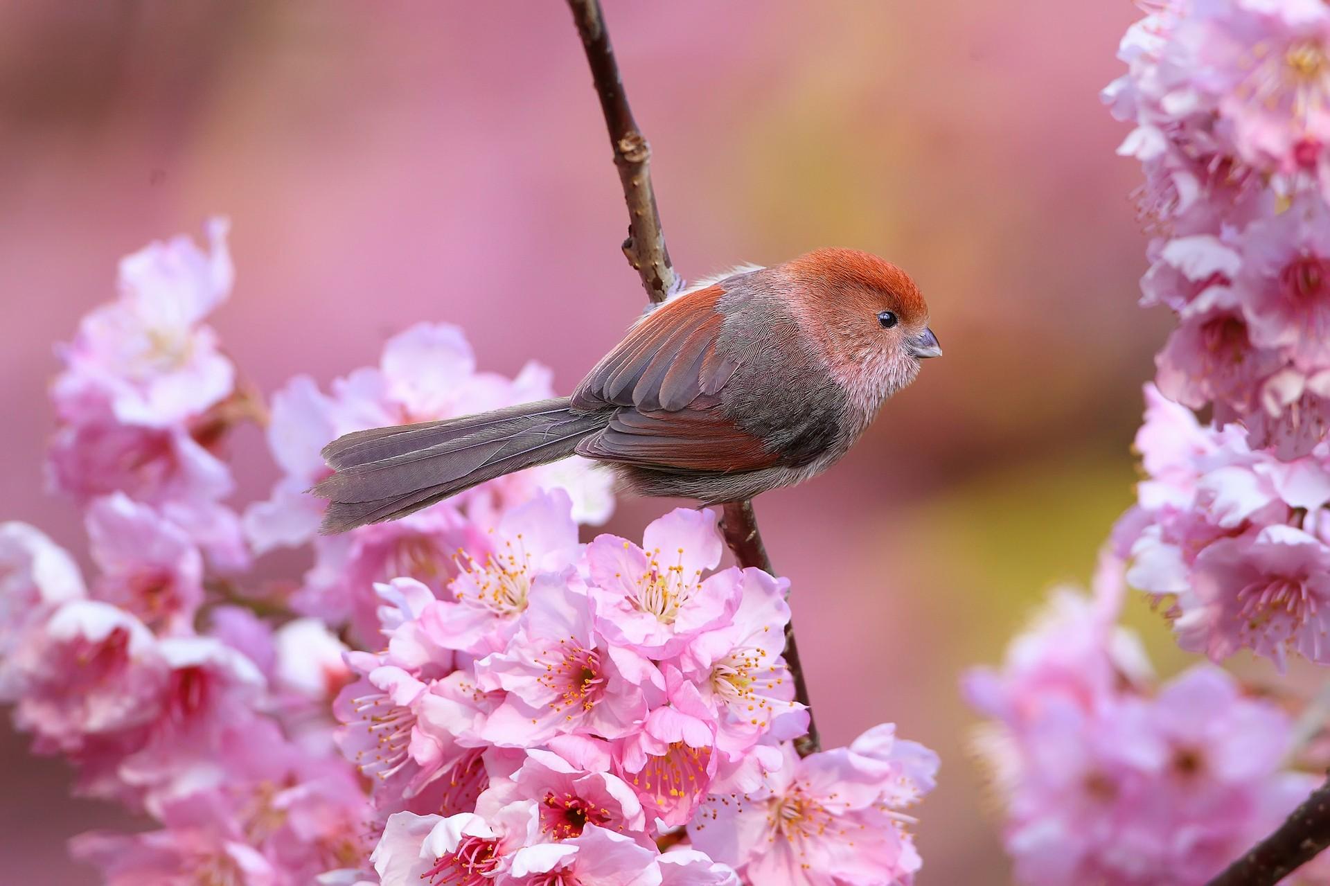 Wallpaper Birds Animals Pink Flowers Nature Branch Cherry