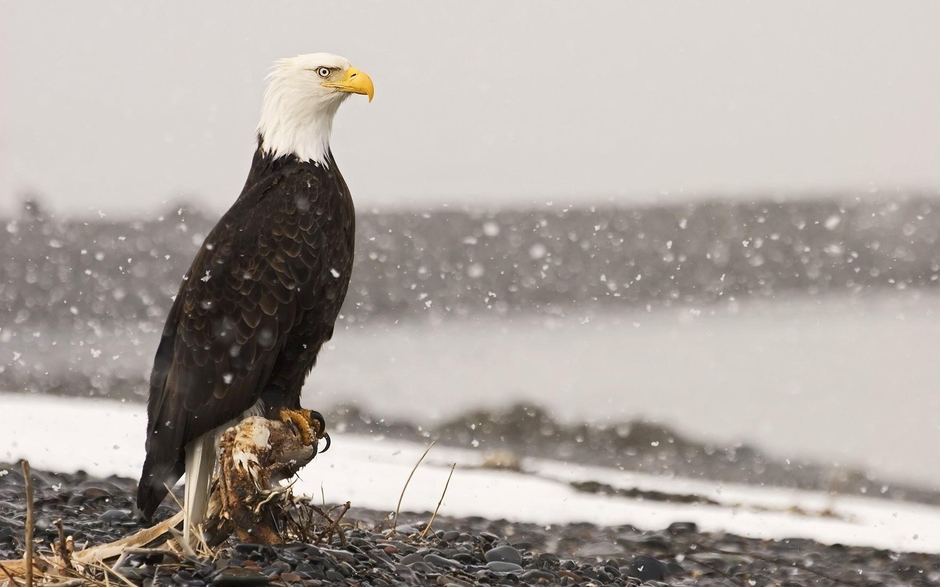 Обои eagle, beak, the, клюв, winter. Животные foto 14