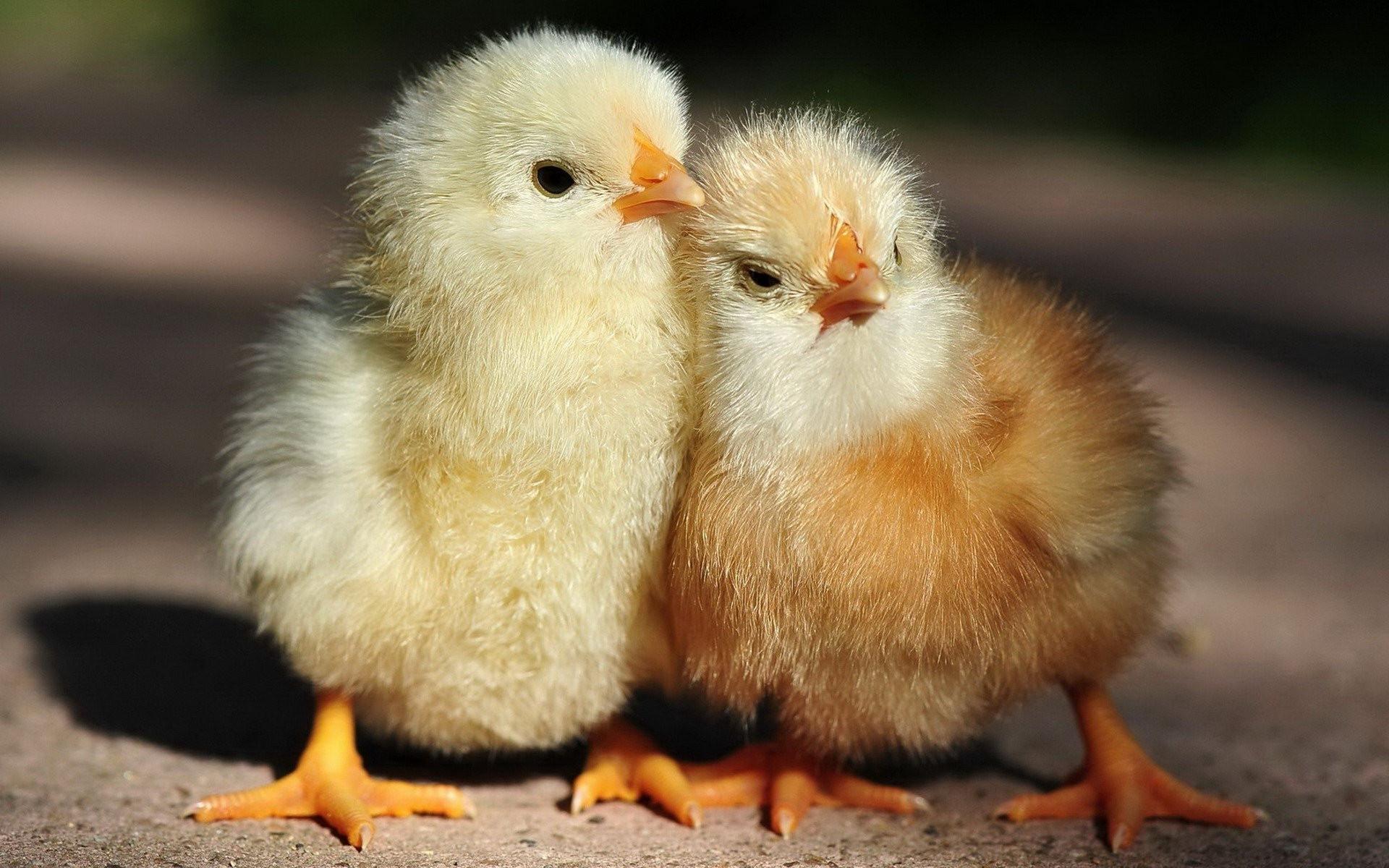 Fondos De Pantalla De Animales Bebes: Fondos De Pantalla : Aves, Animales, Fauna Silvestre