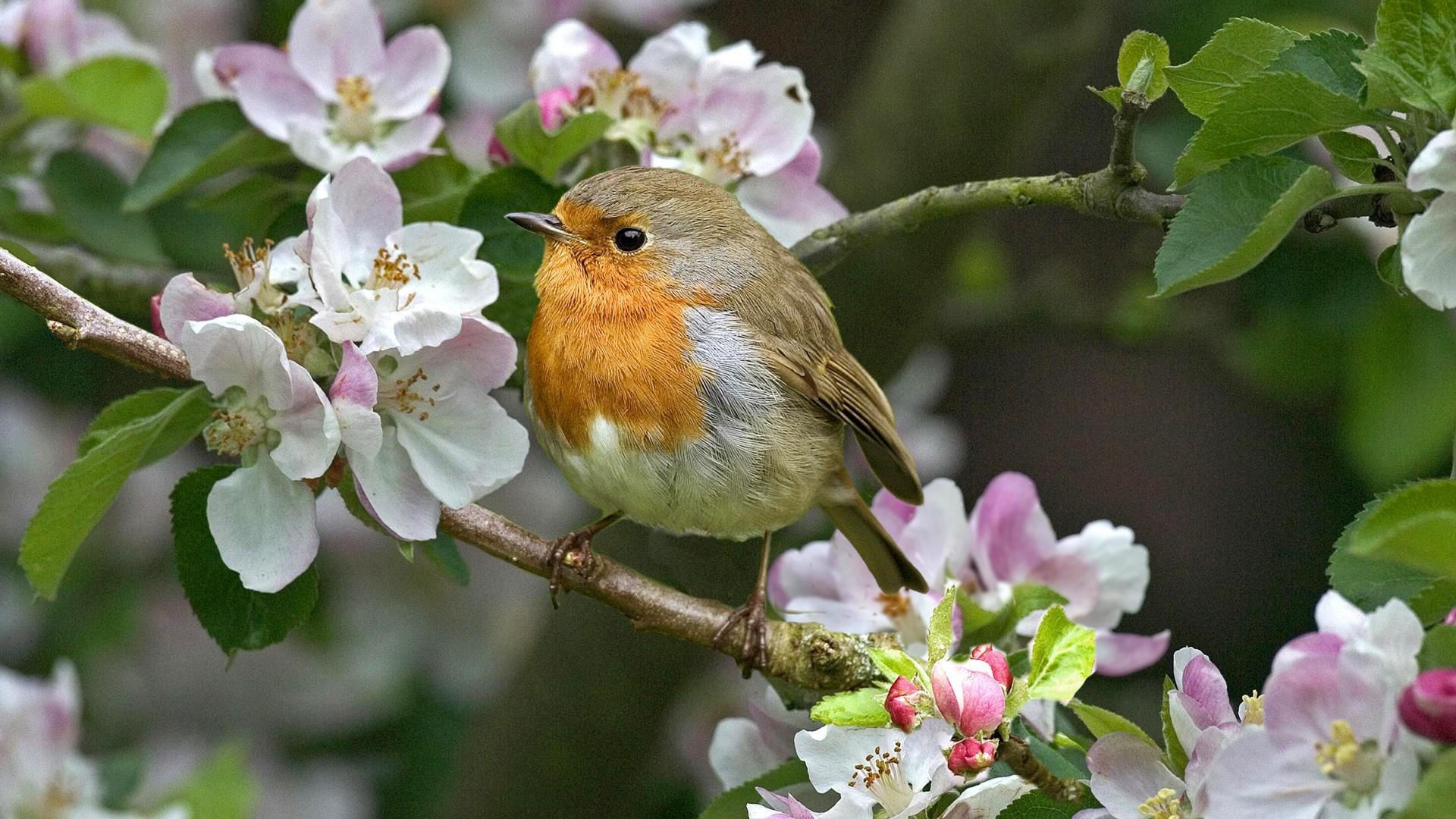 Wallpaper Birds Flowers Nature Branch Wildlife