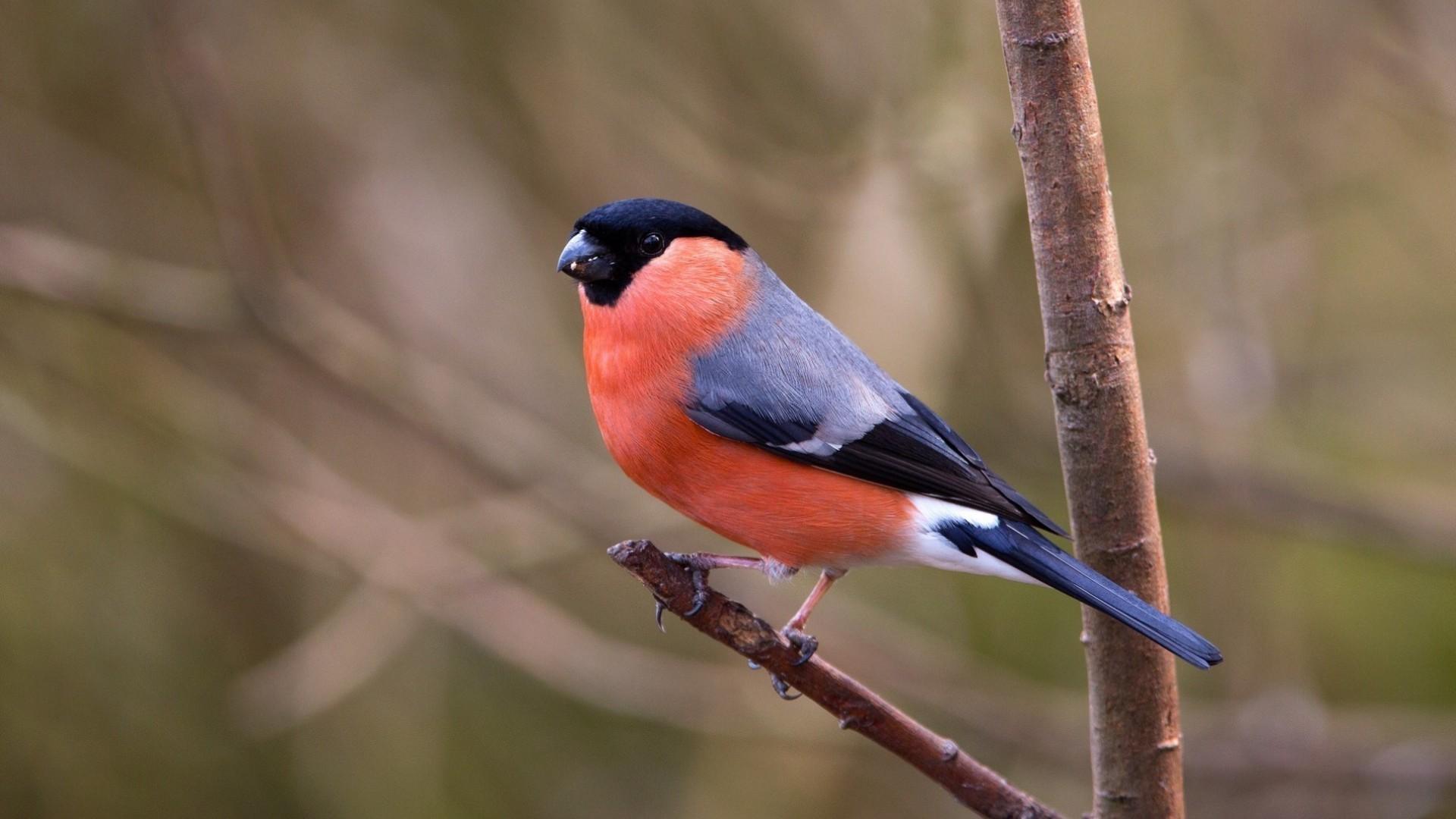 Hintergrundbilder Vögel Natur Ast Tierwelt Gimpel Zweige
