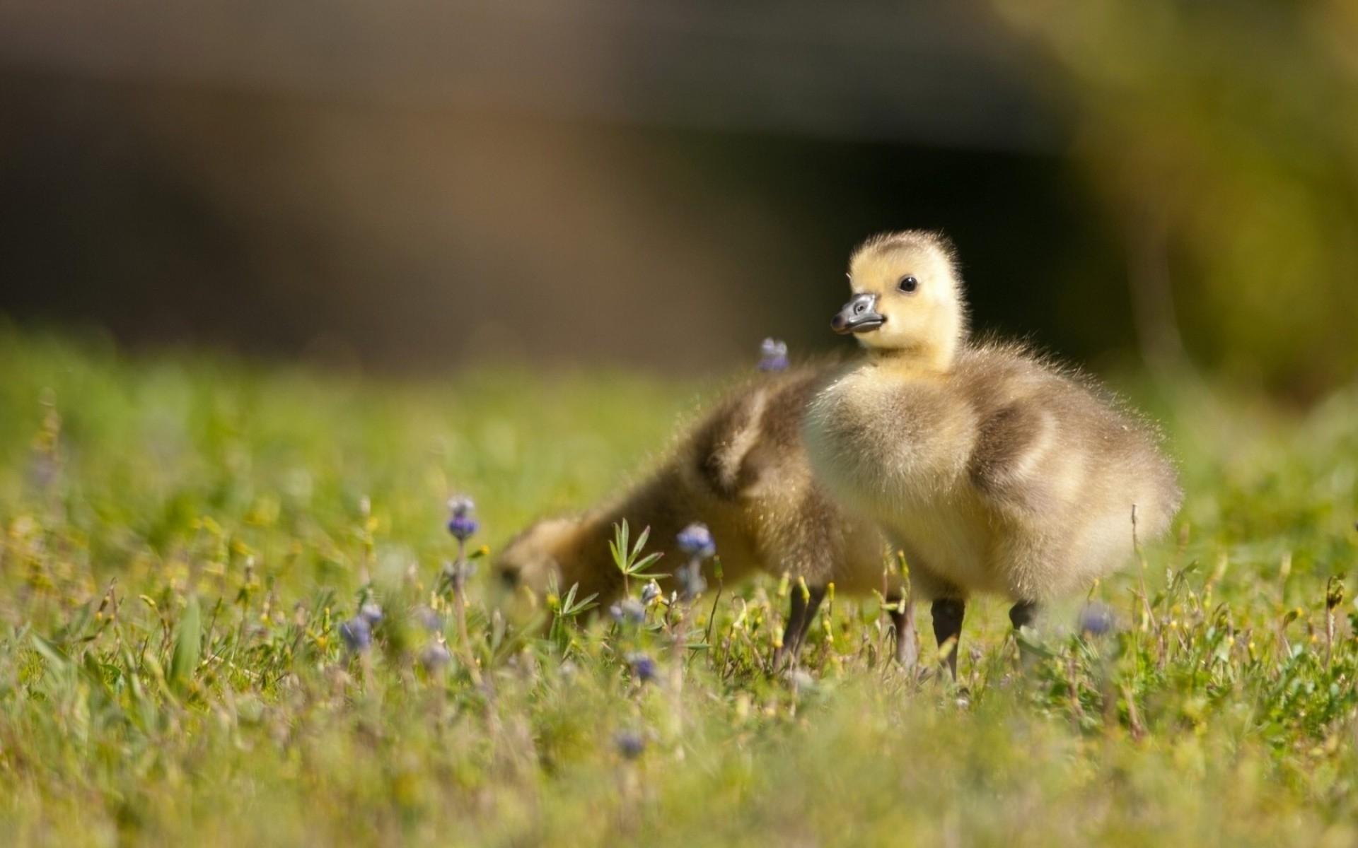 Wallpaper : birds, nature, grass, wildlife, duck, kids, ducklings ...