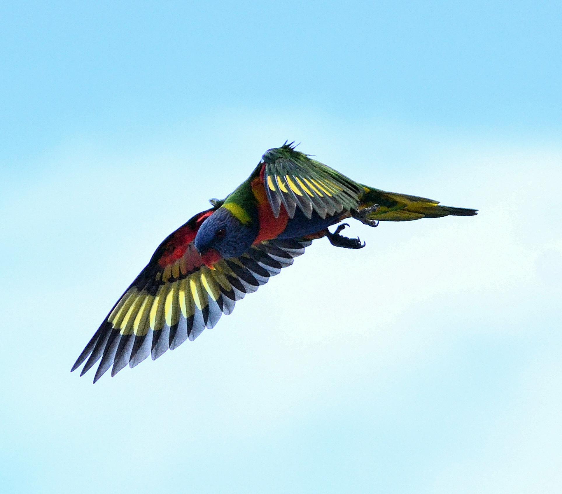 Wallpaper Burung Burung Alam Burung Beo Langit Bulu Penerbangan Margasatwa Paruh Queensland Penerbangan Pelangi Macaw Sayap Fauna Flickrdiamond Lorikeet Coraciiformes Coochiemudlo 1927x1694 881132 Hd Wallpapers Wallhere
